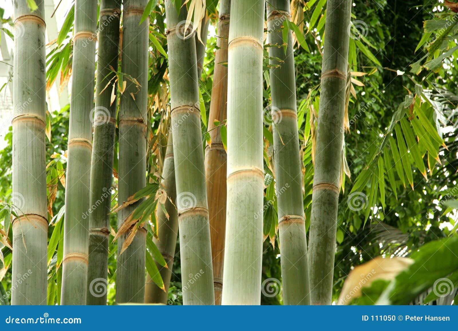 Bambou grand