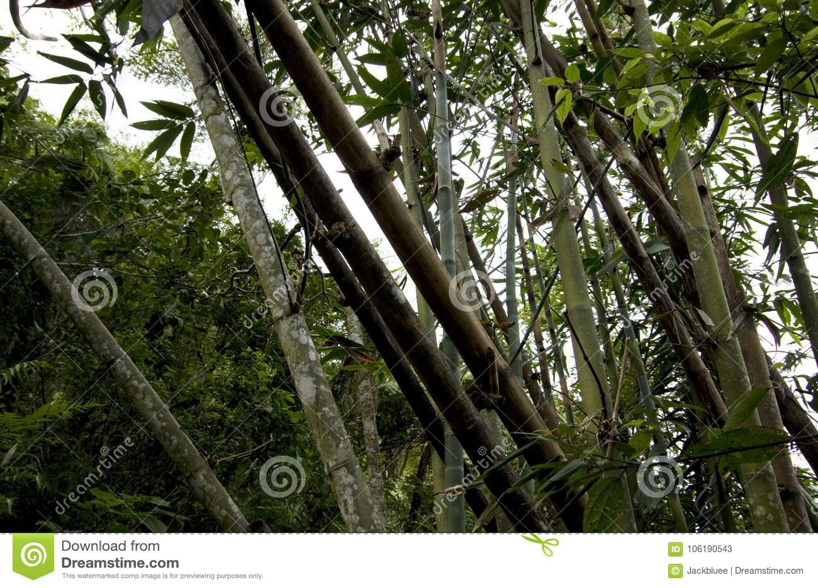 Bambous sauvages élevant Taiwan