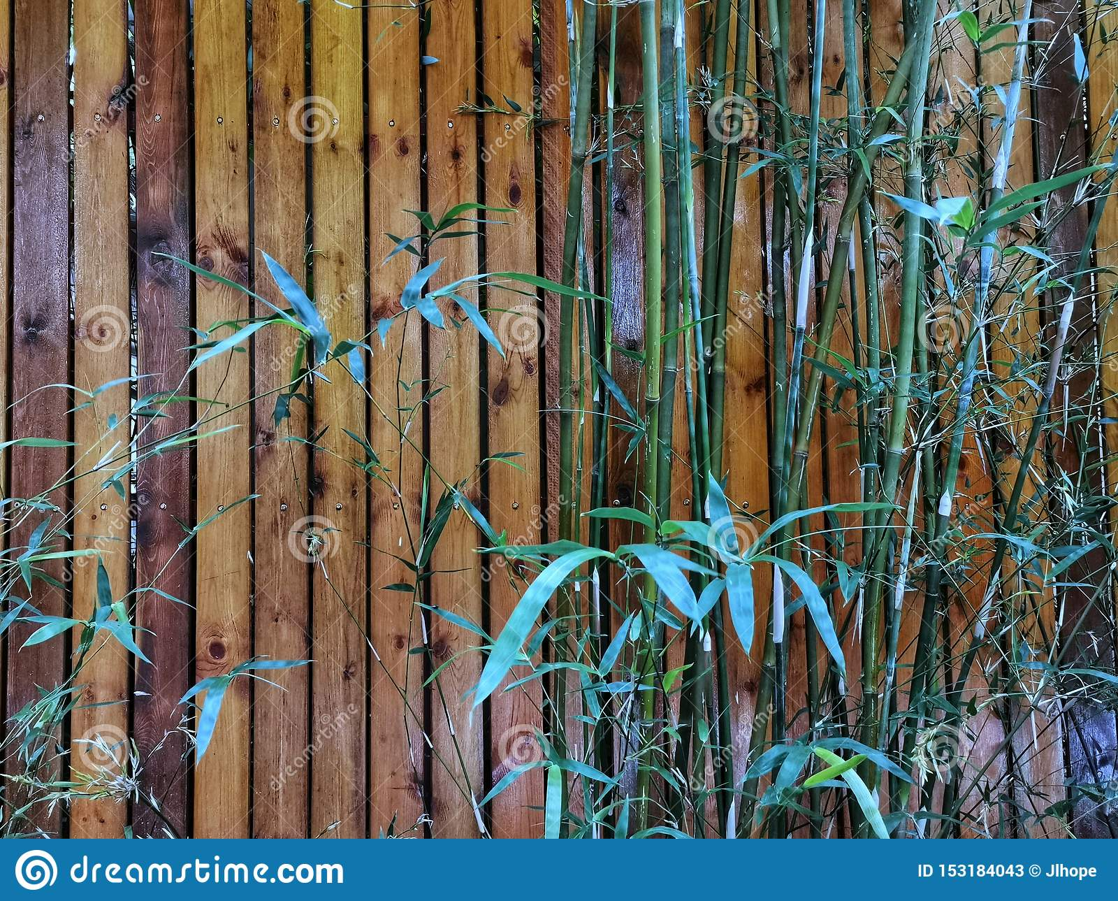 Bambous verts contre le mur en bois