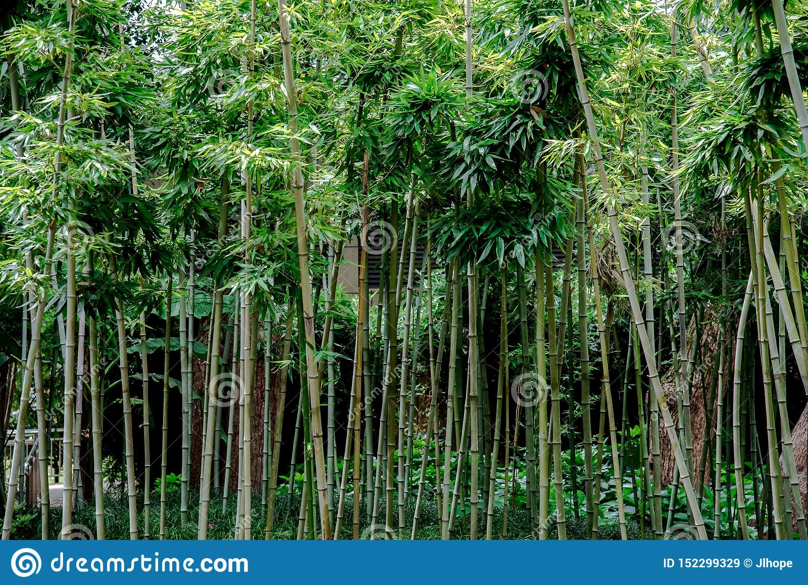 Bambous verts dans un jardin