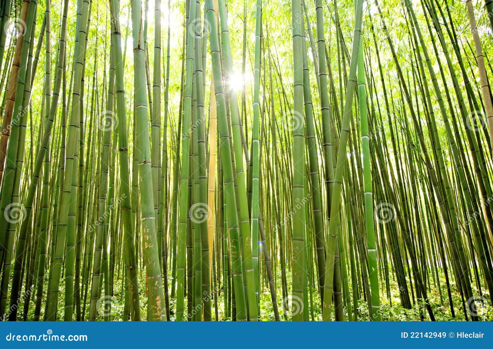 sun shining through a curtain of bamboos