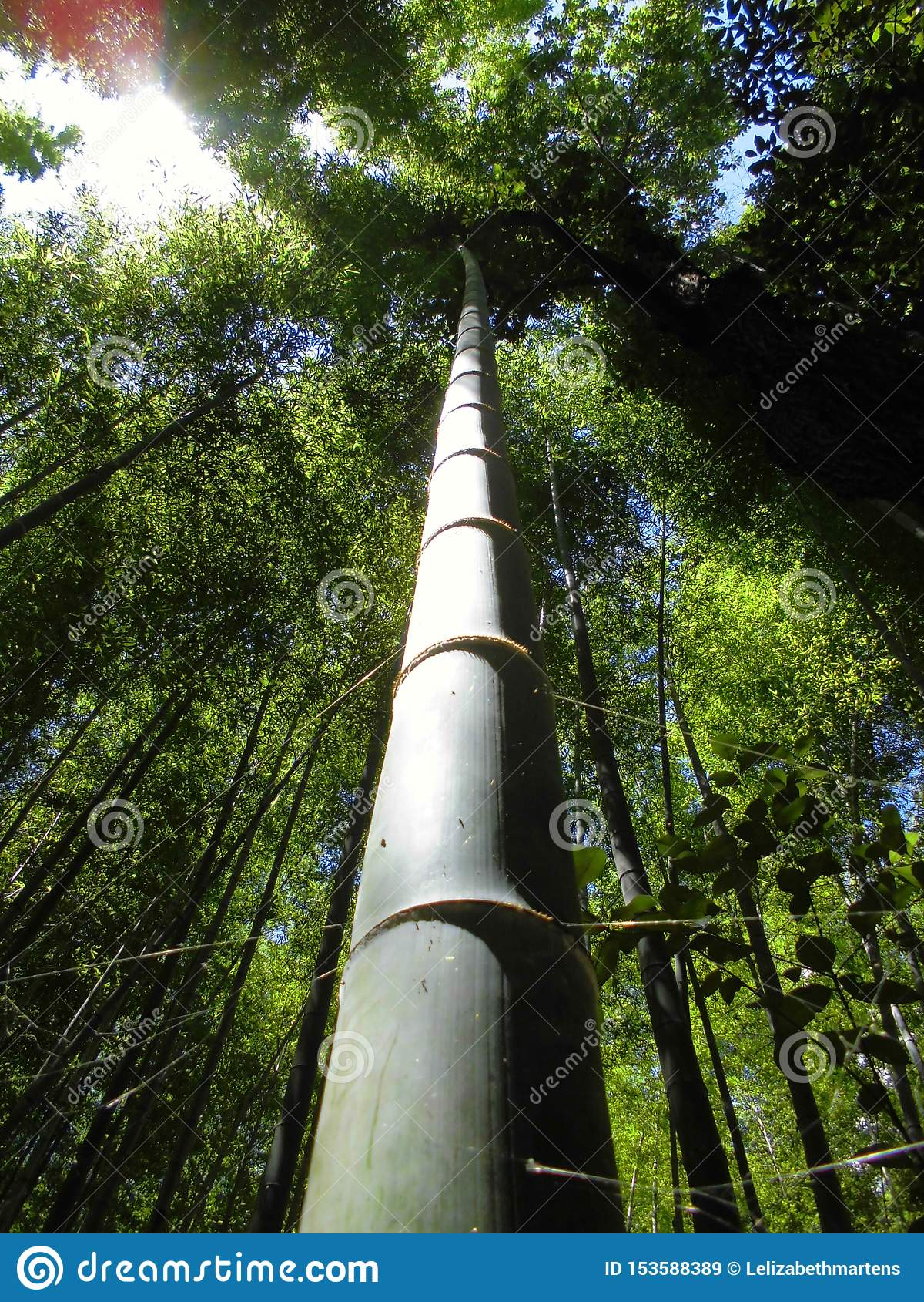 Bambu Forest Sagano Kyoto Japan