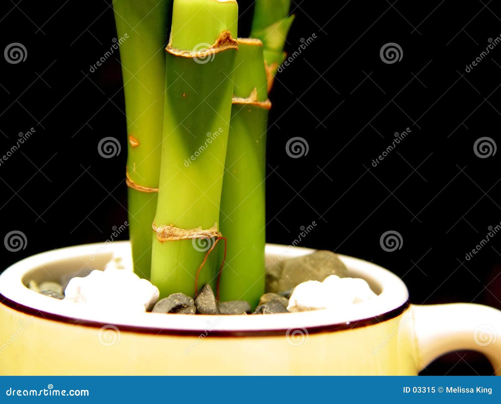 Bambus im Cup