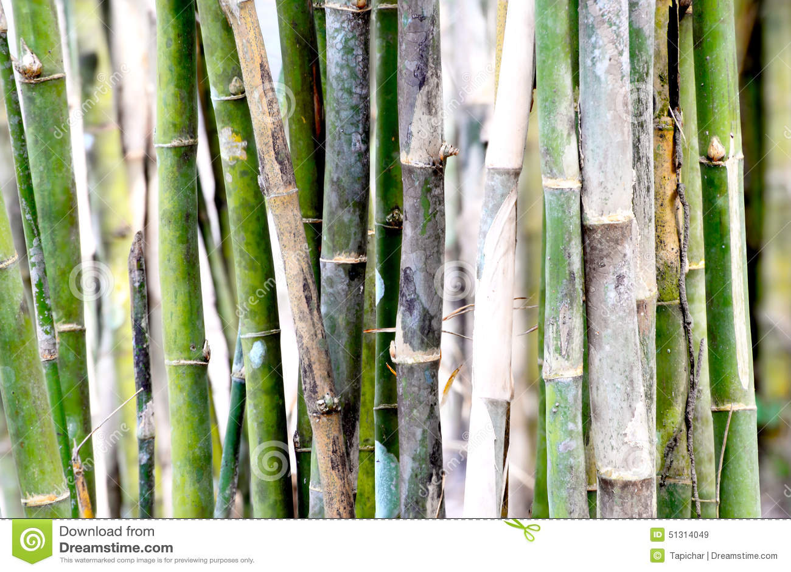 Bambus Ist Ein Sehr Schnell Wachsendes Gras Das Einem Baum ähnelt