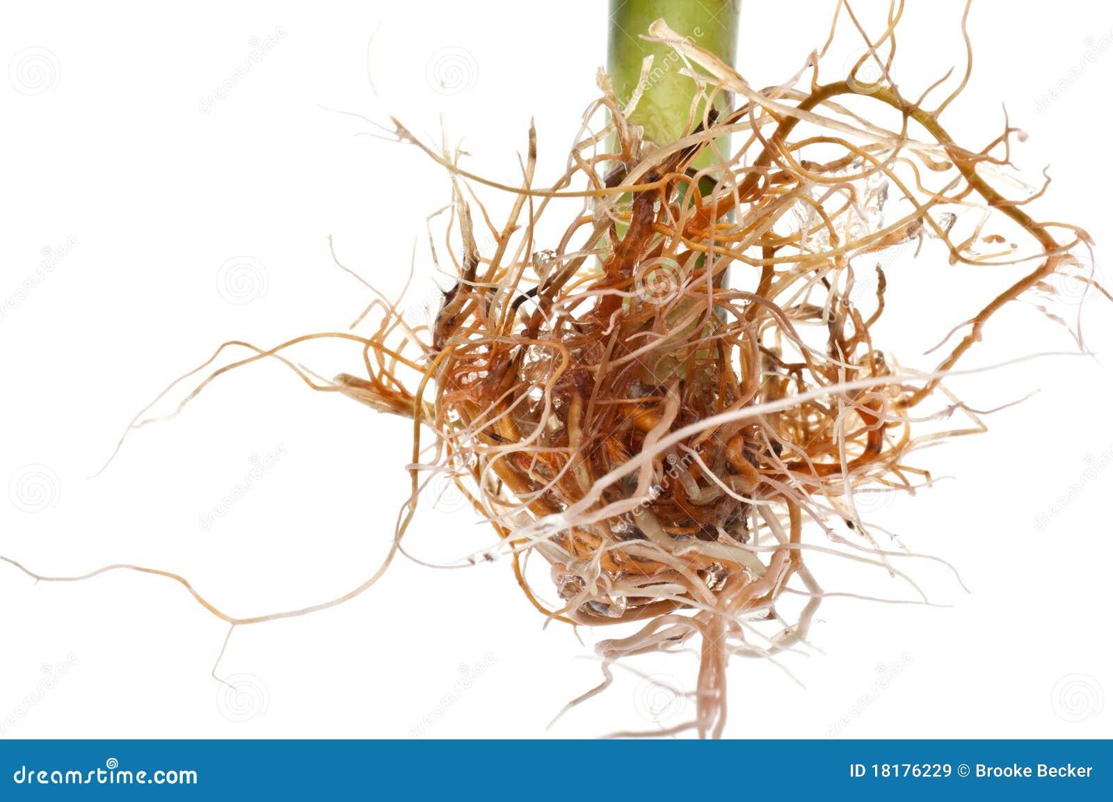 Bambus Mit Neuem Wachstum Stockbild Bild Von Fotographie 18176245