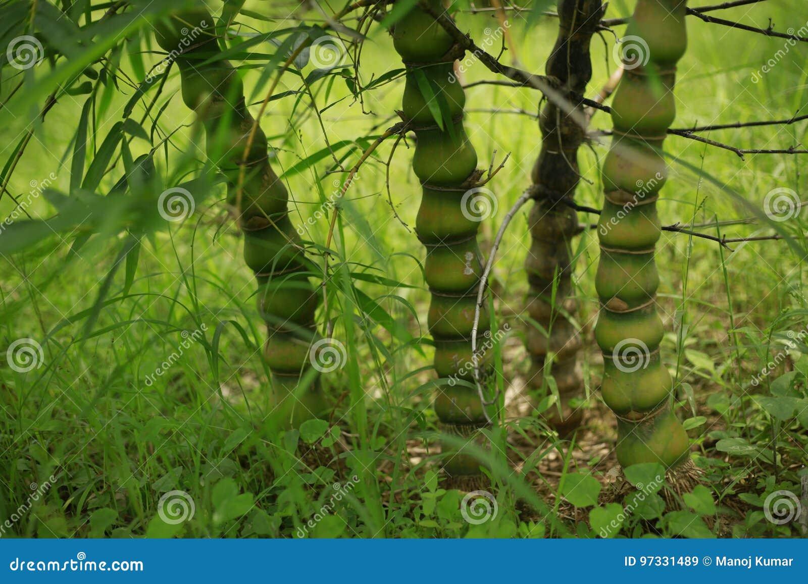 Bambusanlage