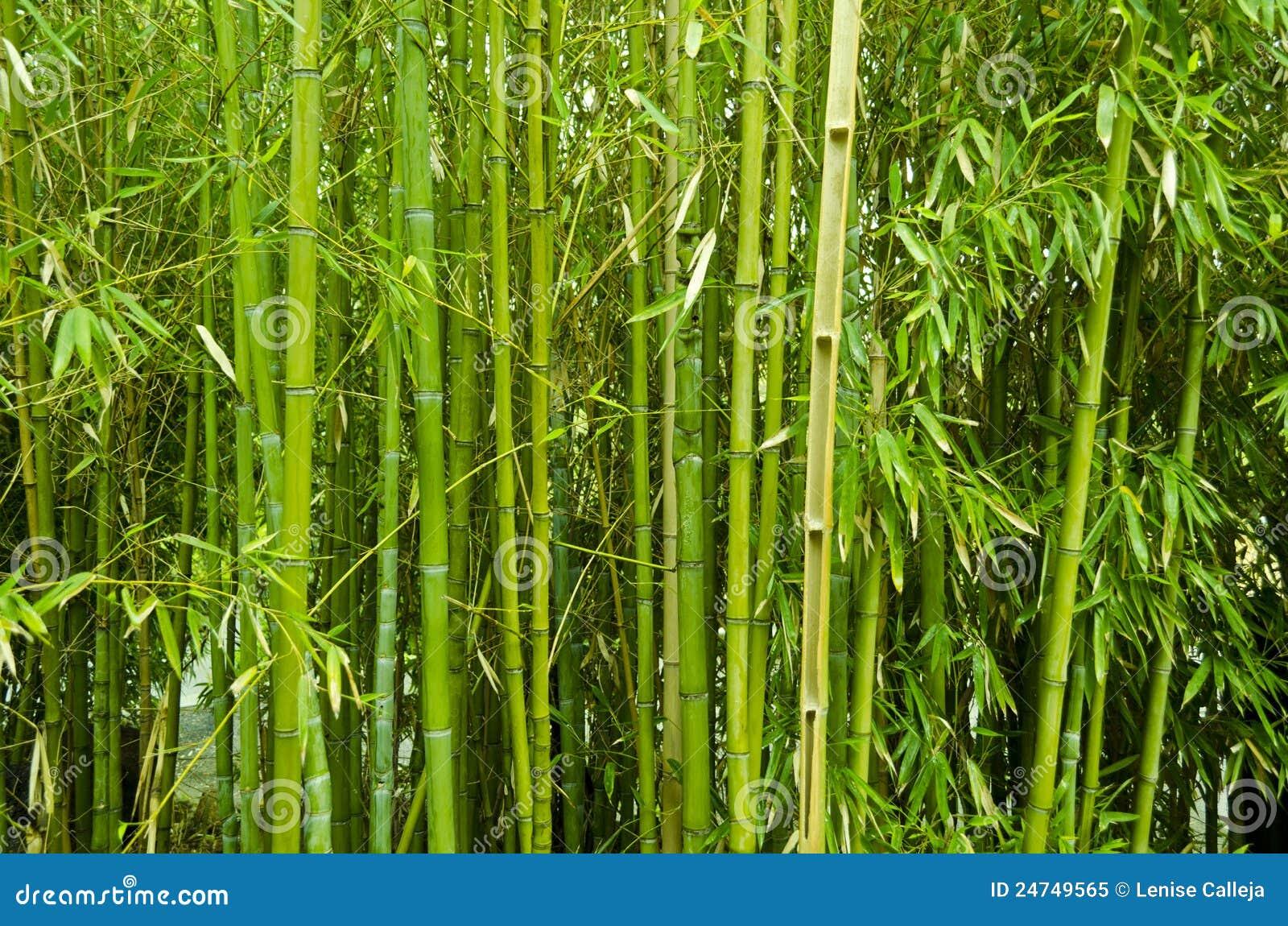 Bambusowi drzewa