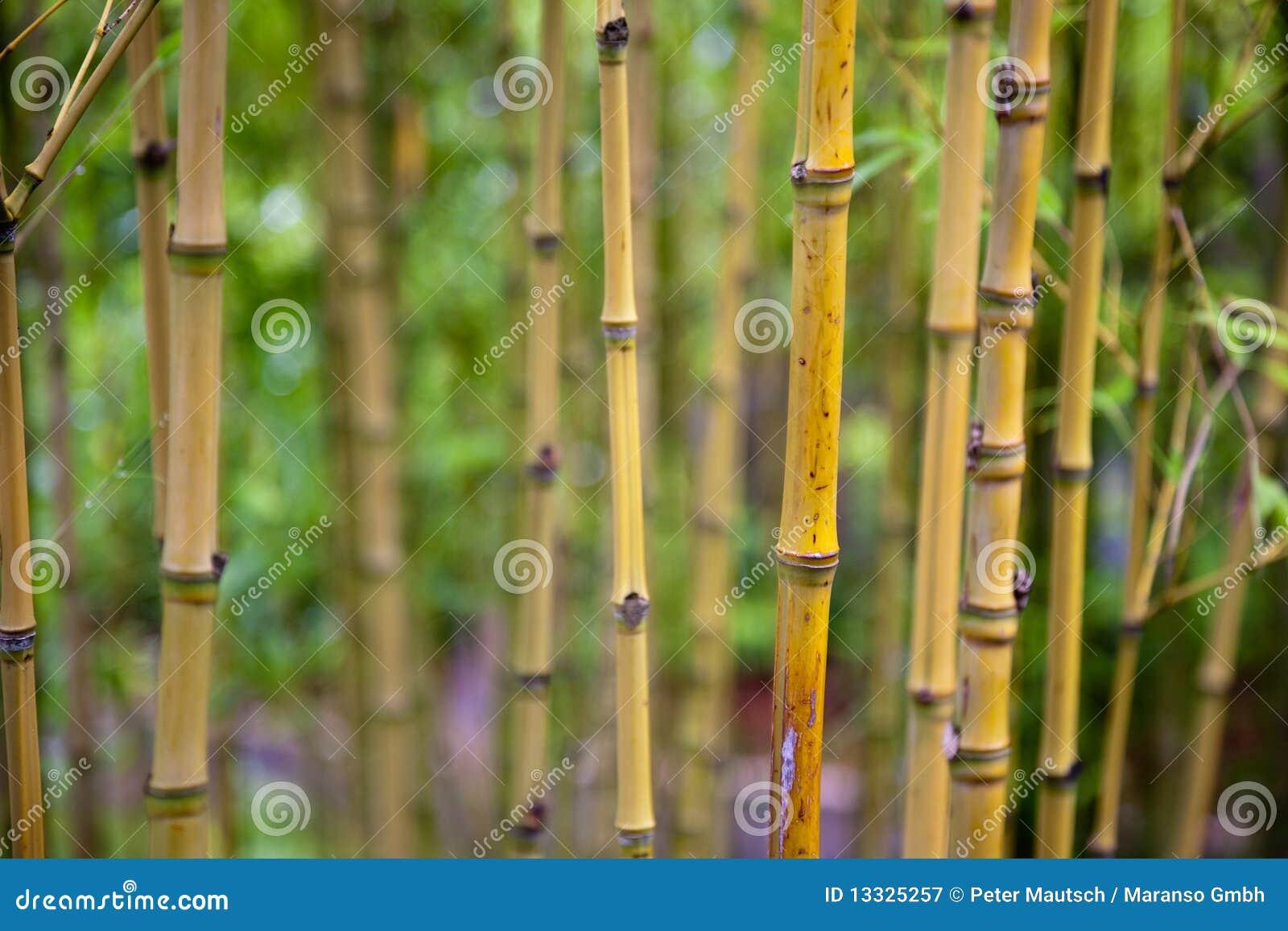 Bambusowi krótkopędy
