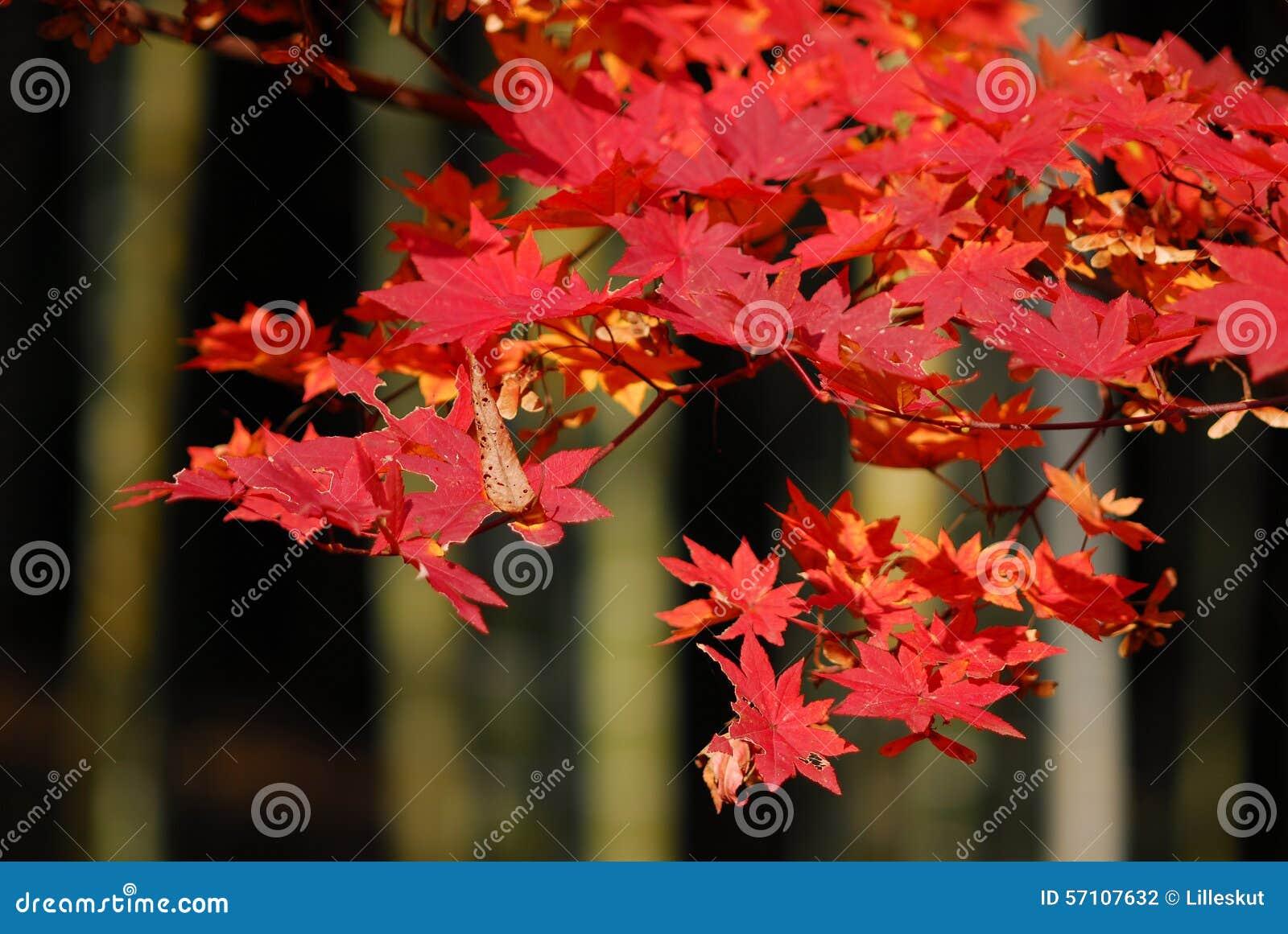 Bambusowy czerwony klon