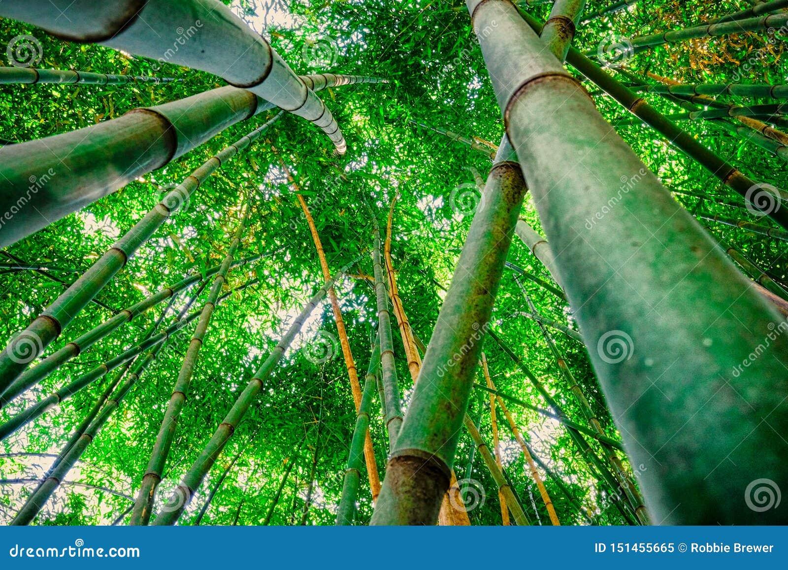 Bambusowy lasowy patrzeć niebo