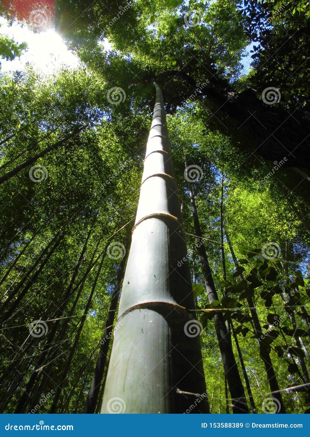 Bambusowy Lasowy Sagano Kyoto Japonia