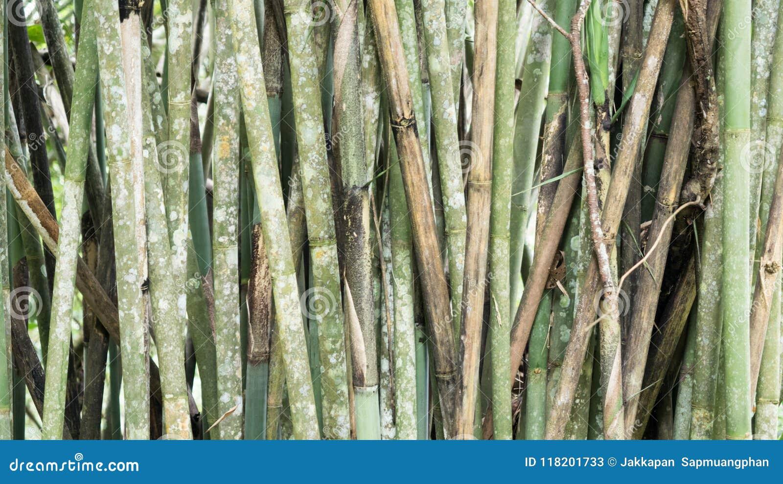 Bambusowy tło lub tekstura