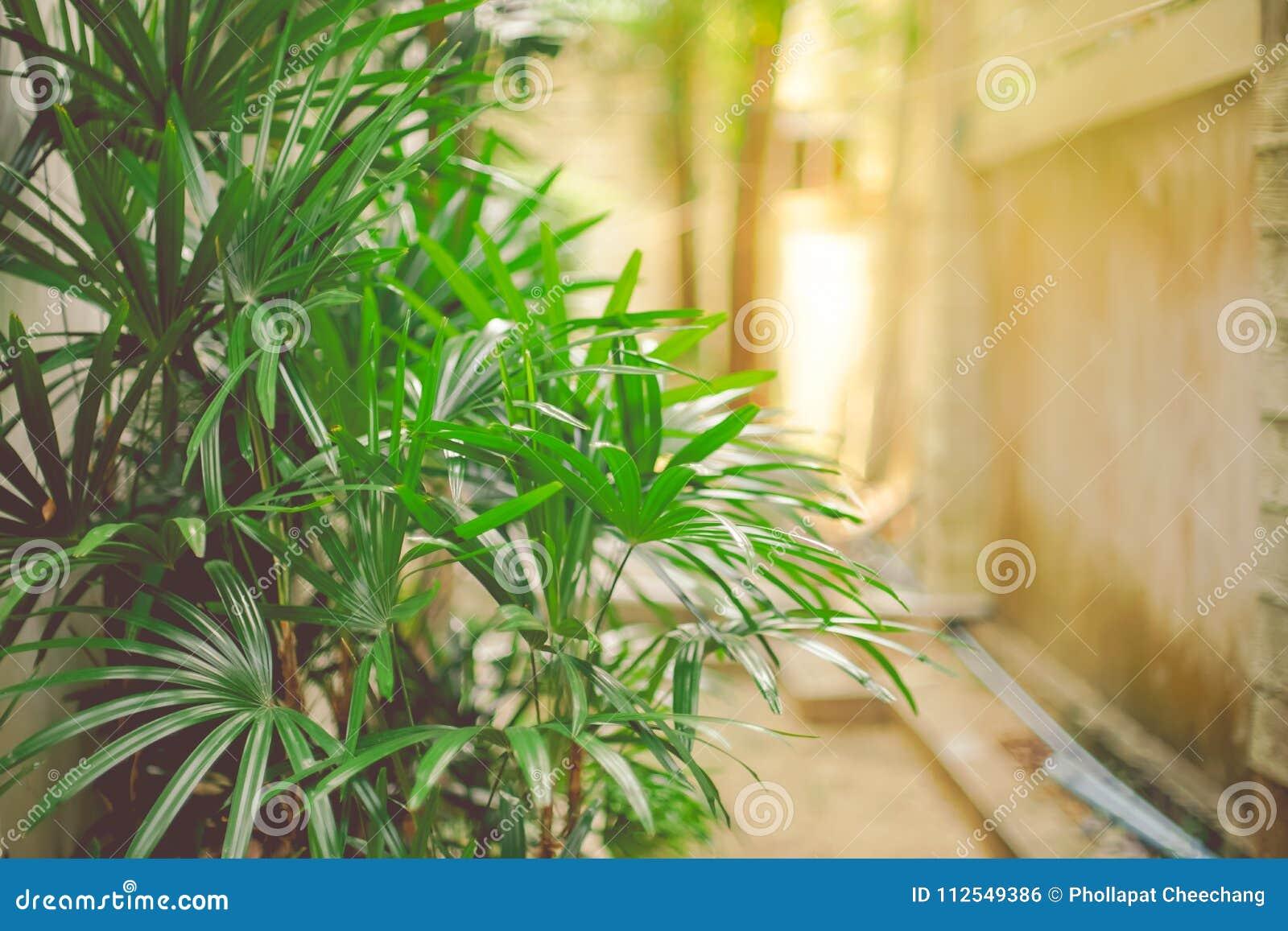 Bambuspalmen ArekanussPalmen Im Garten Als Wandhintergrund