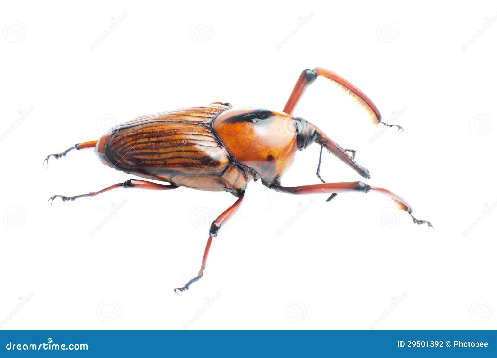 Bambusschnauzekäfer