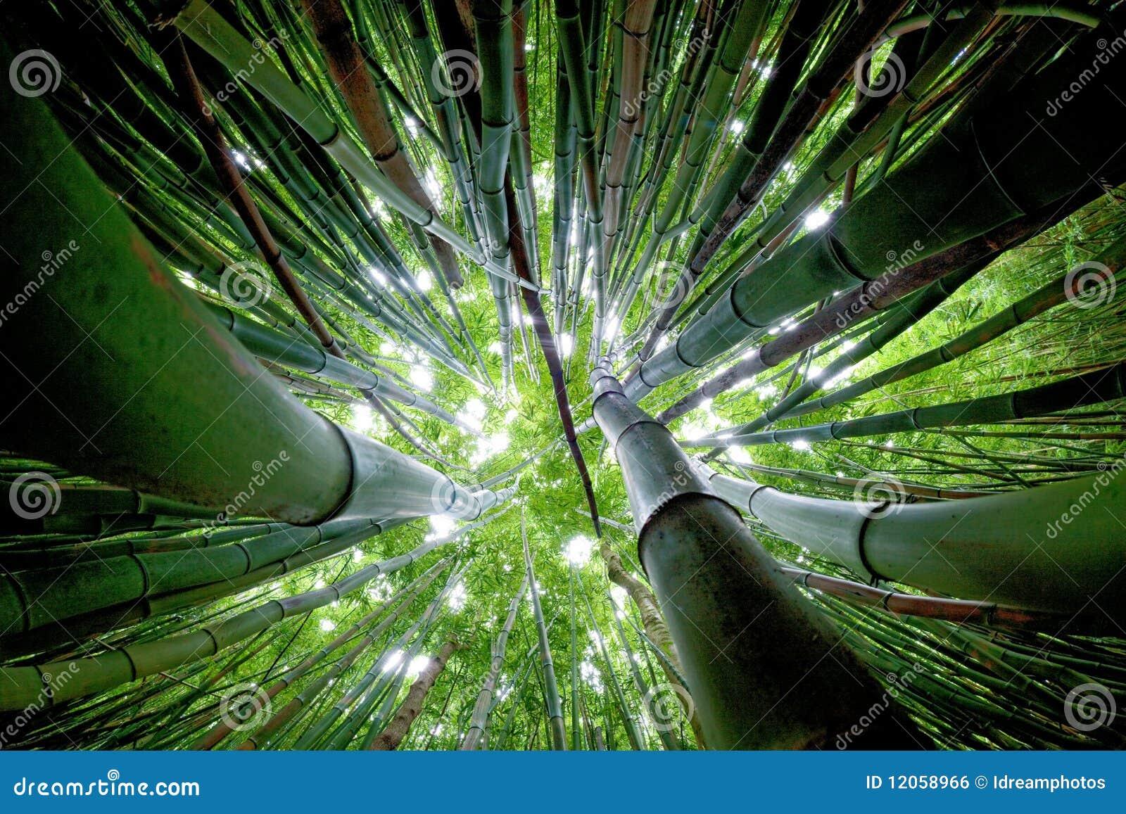 Bambuswald Maui Stockfoto Bild Von Okologie Sieben 12058966