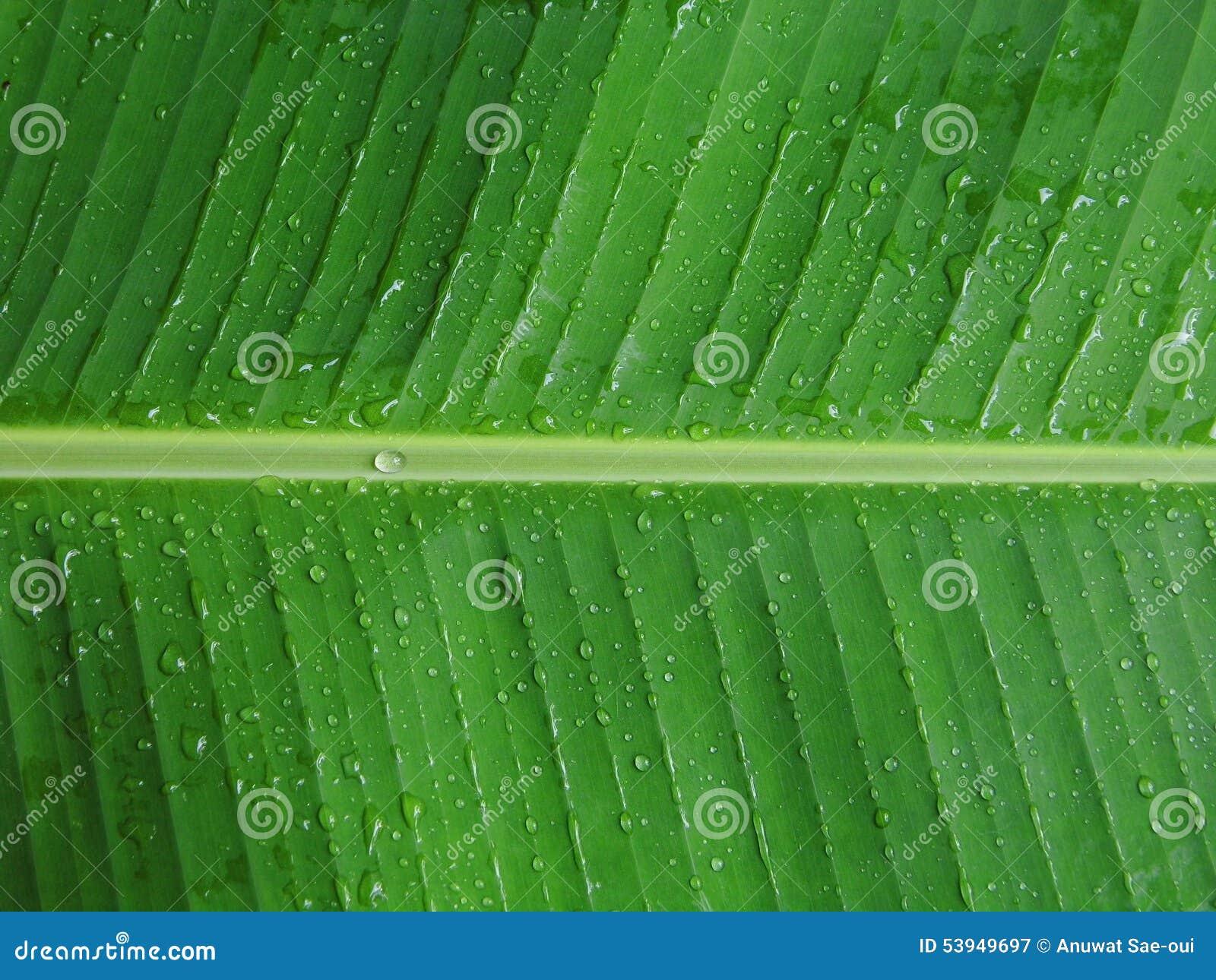 Banaanblad met dauw
