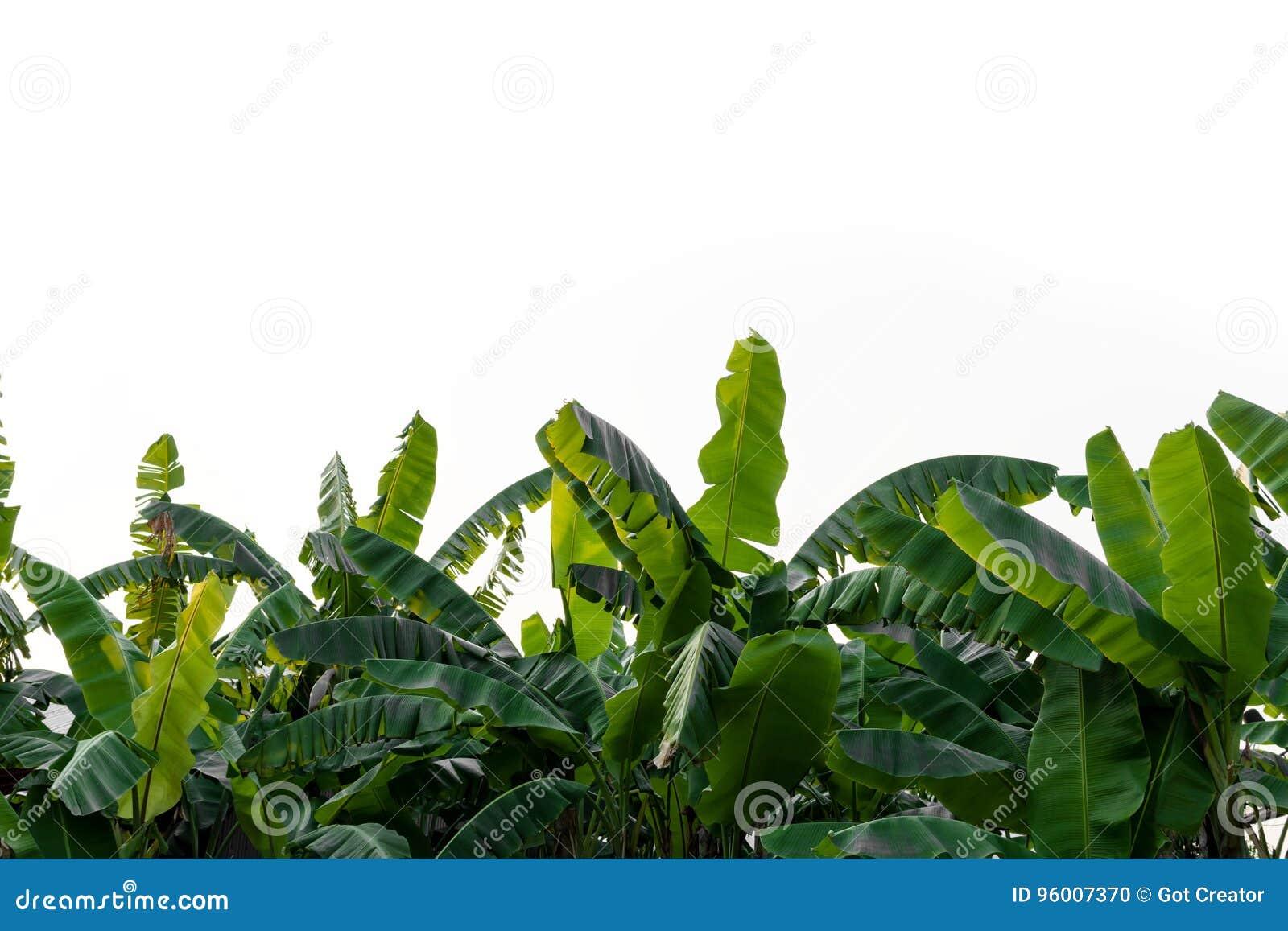 Bananów liście odizolowywający na białym tle