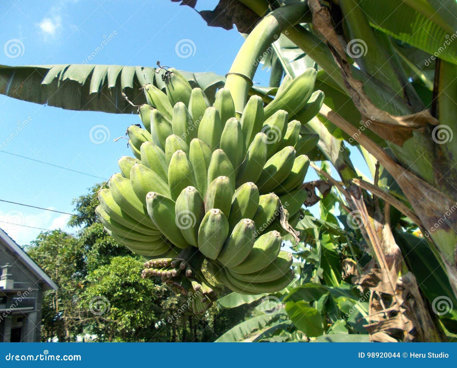 Banana Tree Saba Stock Photo Image Of Fruit Feed Agriculture