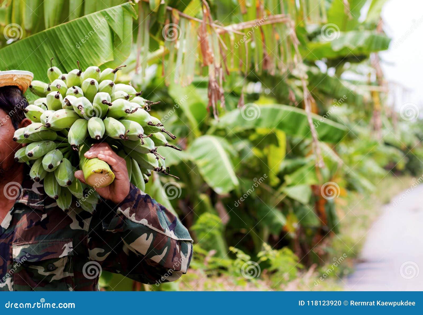 Banana cruda con il giardiniere