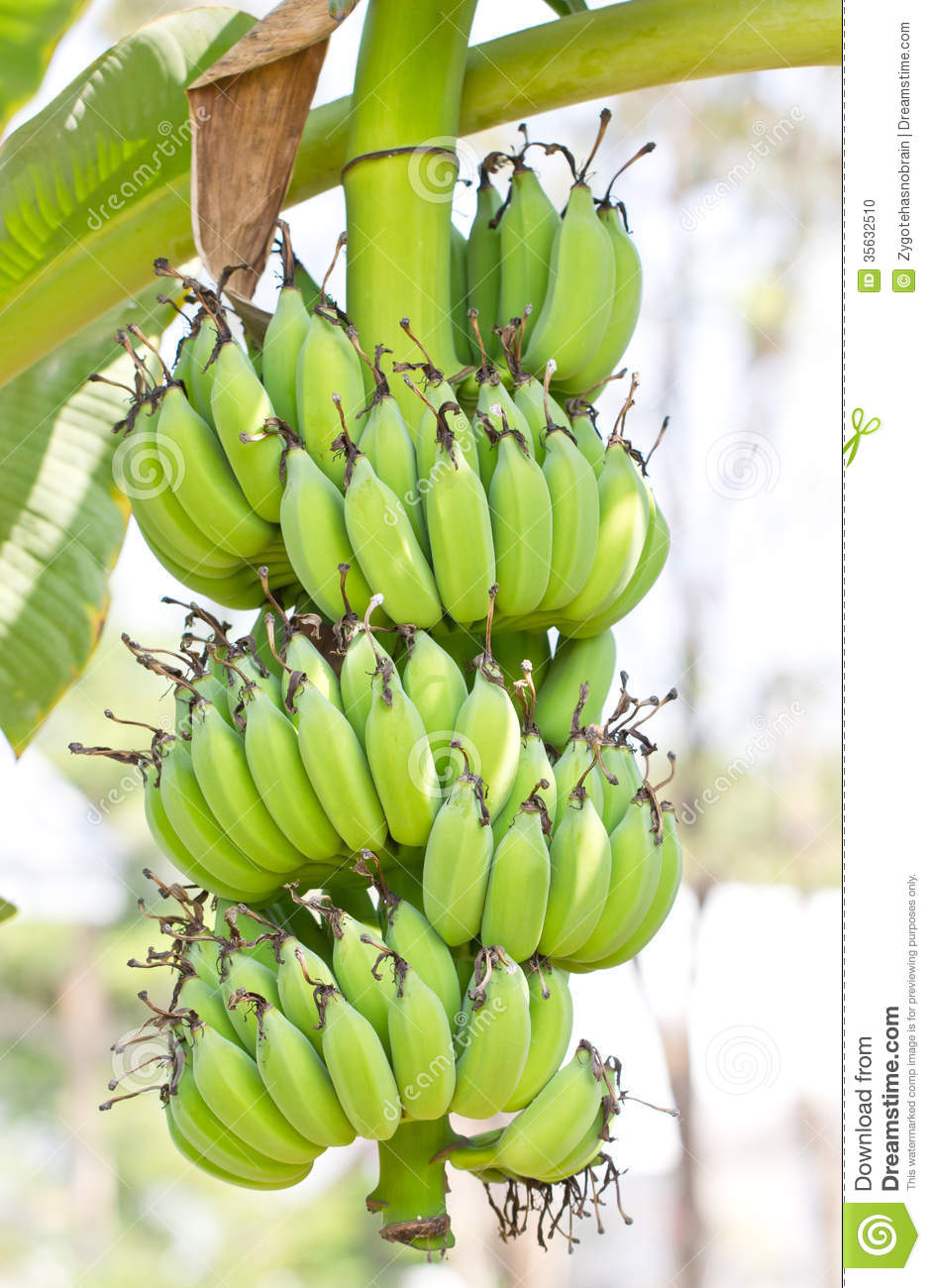 Banana Stock Photo Image Of Forest Food Diet Green 35632510