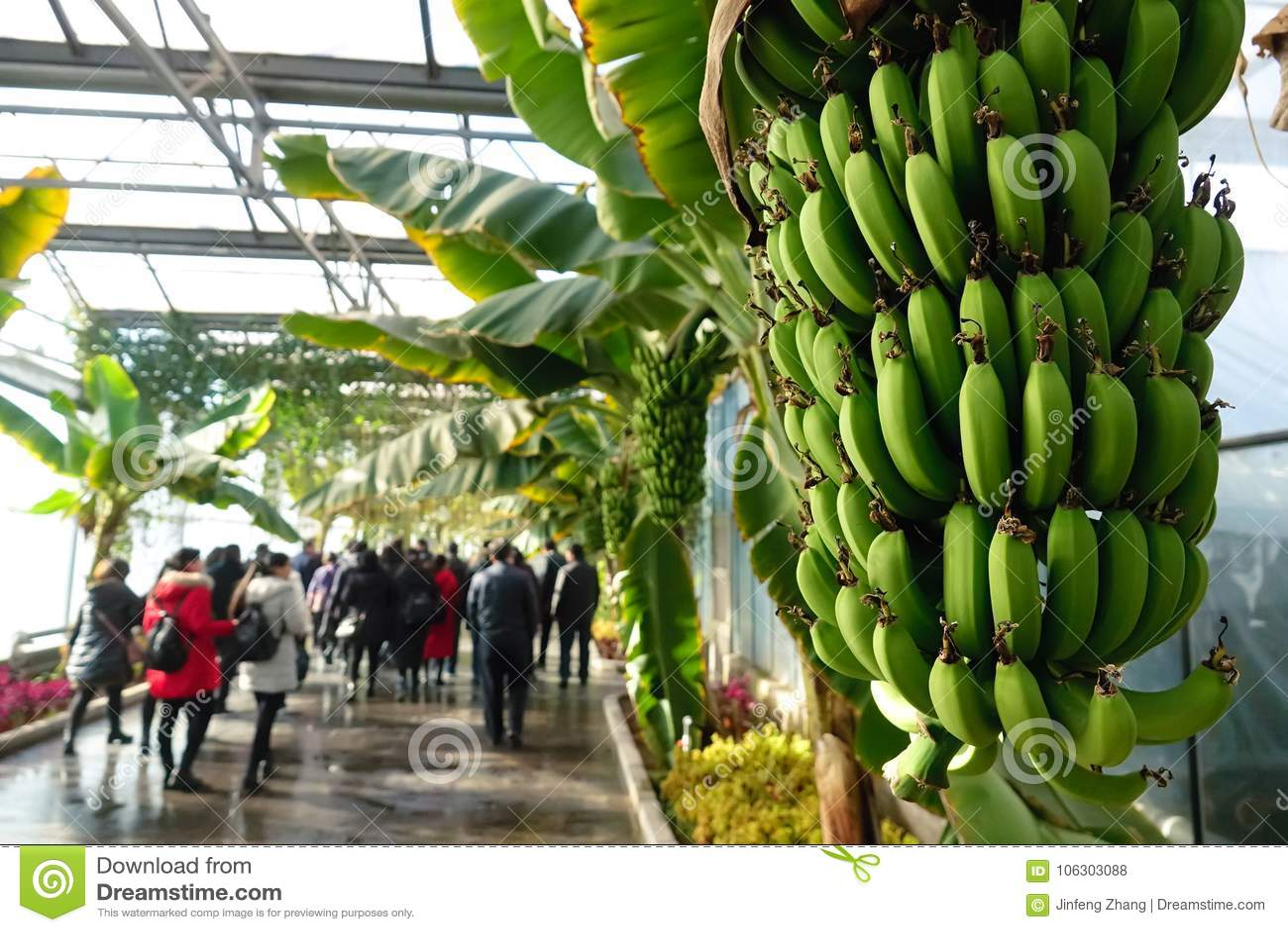 Banana Greenhouse Editorial Stock Photo Image Of Tropic 106303088