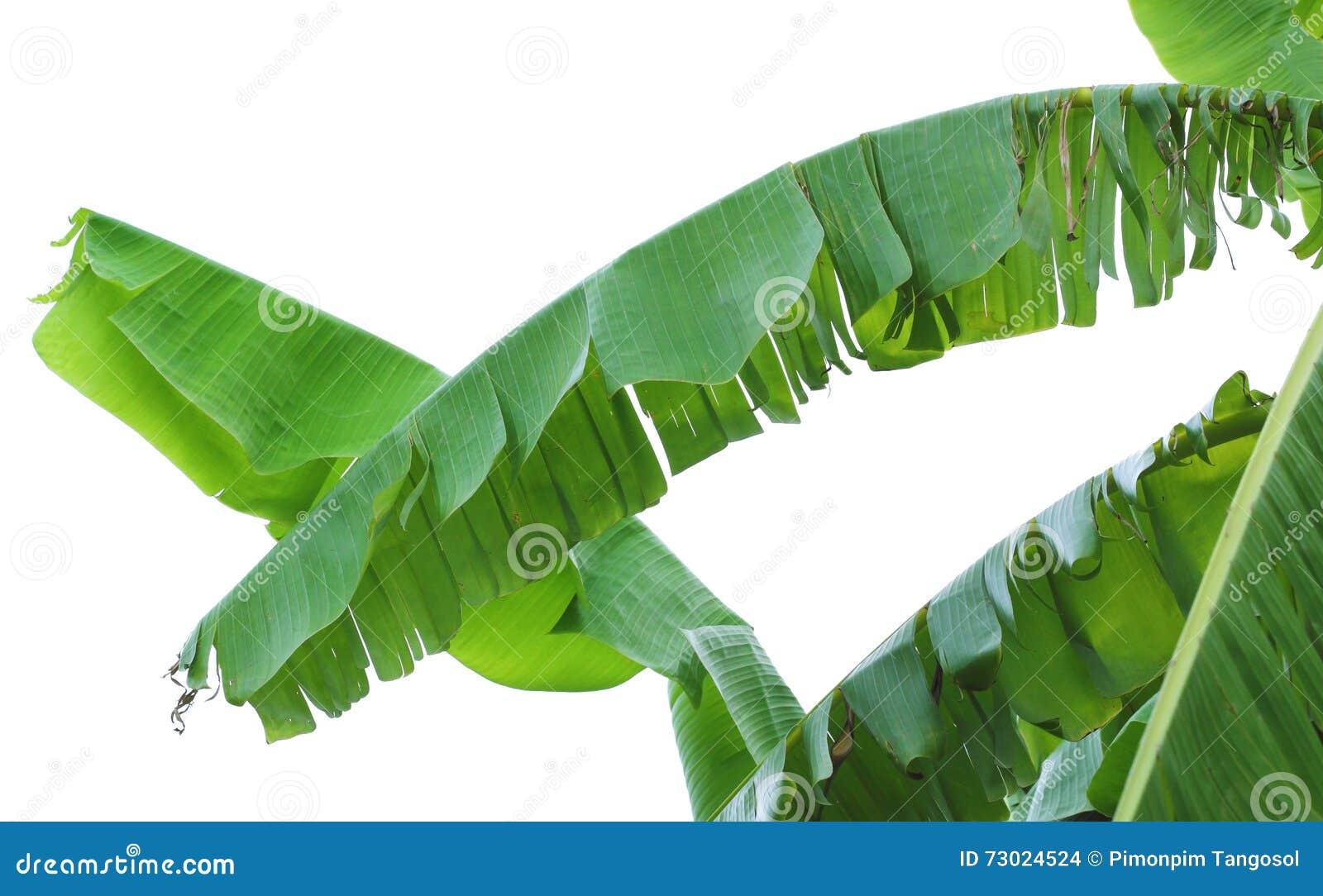 banana leaves or banana tree stock photo image 73024524
