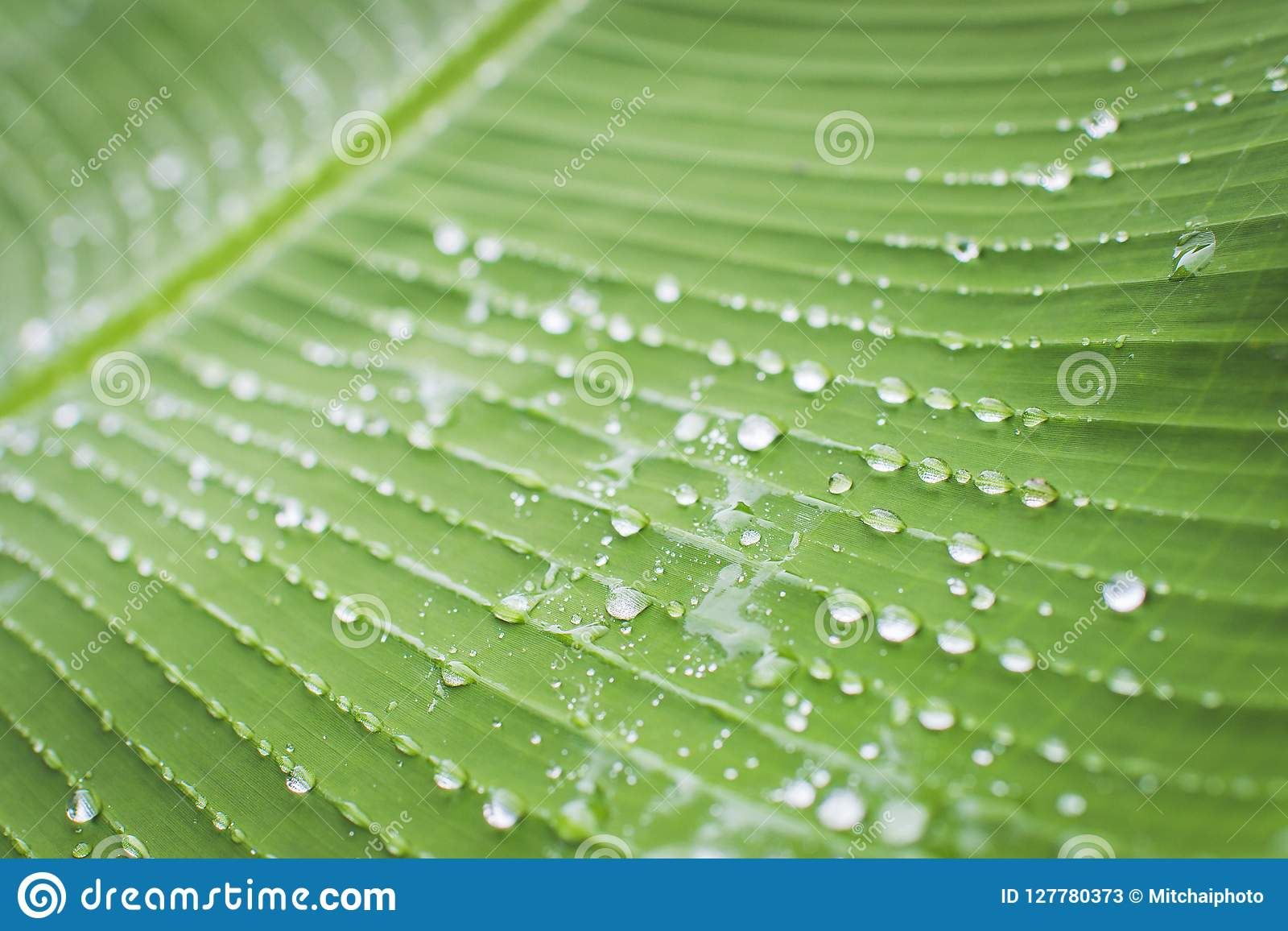 The banana leaves are wet