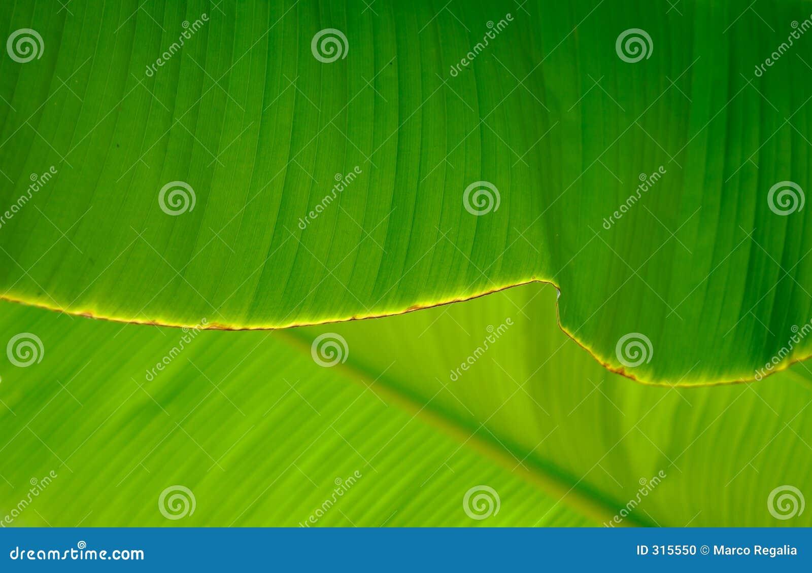Banana liści blisko palma.