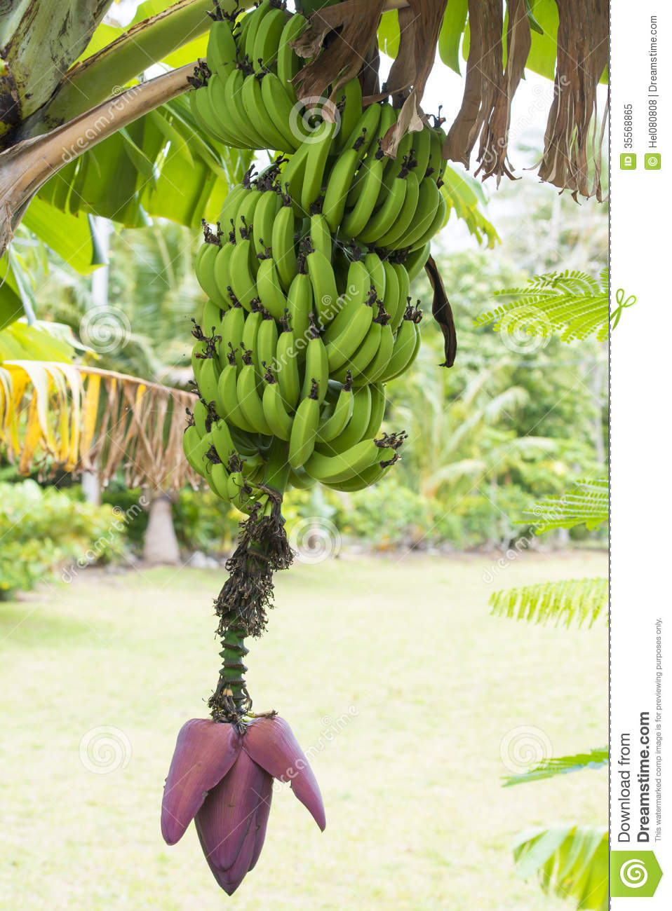Banana Plant With Bloom And Fruits Royalty Free Stock
