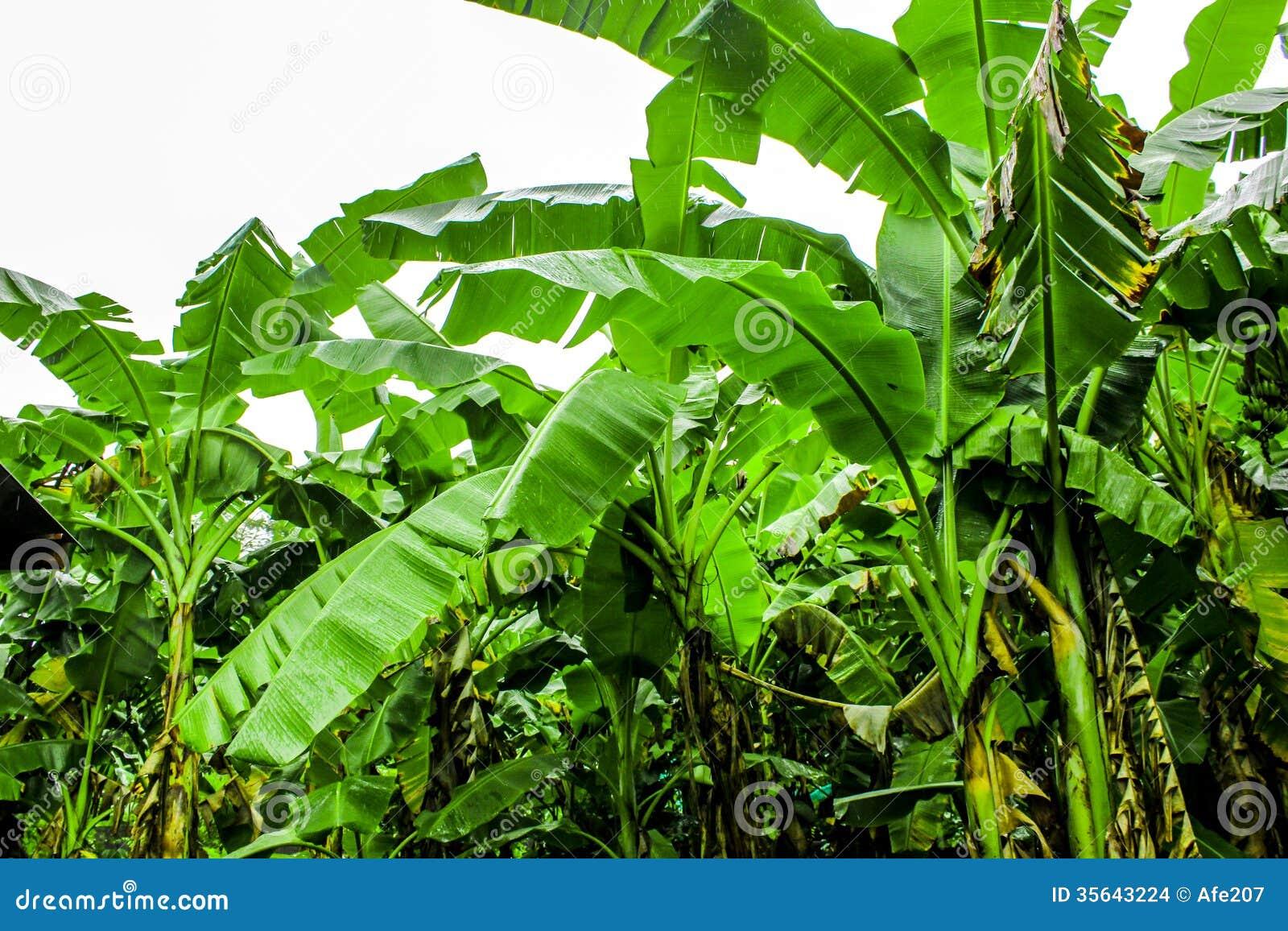 Doing banana farming as a business
