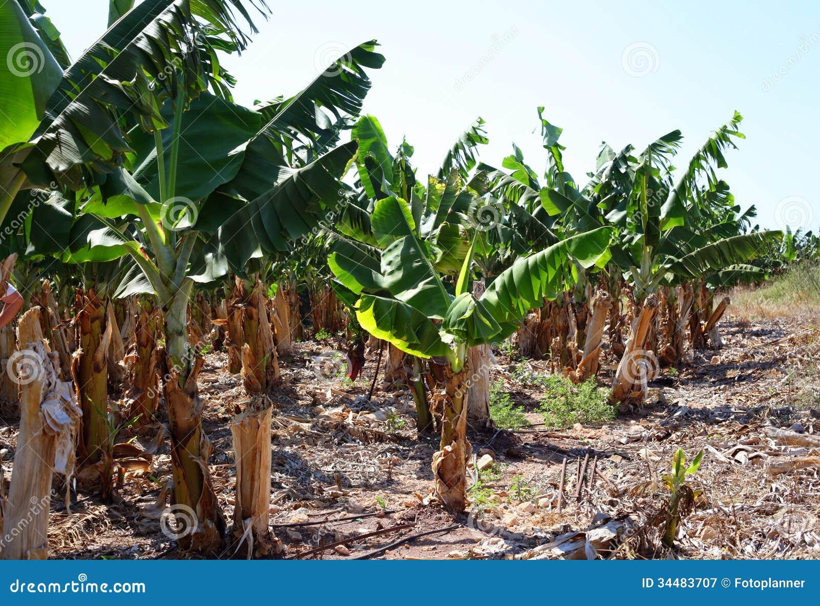 Battling to save the world's bananas