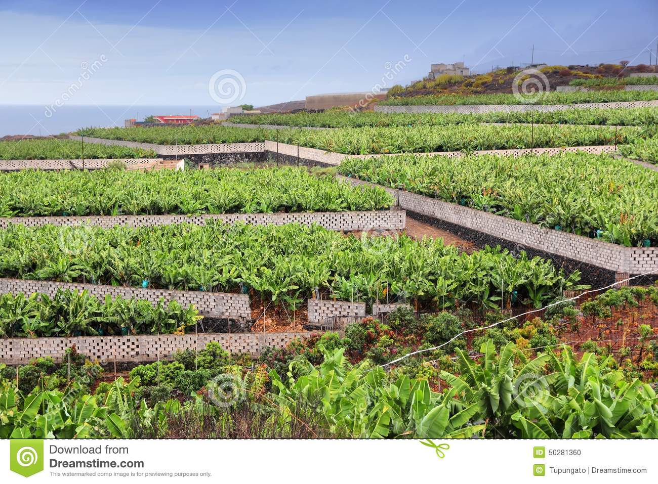 Which Canary Islands Bananas