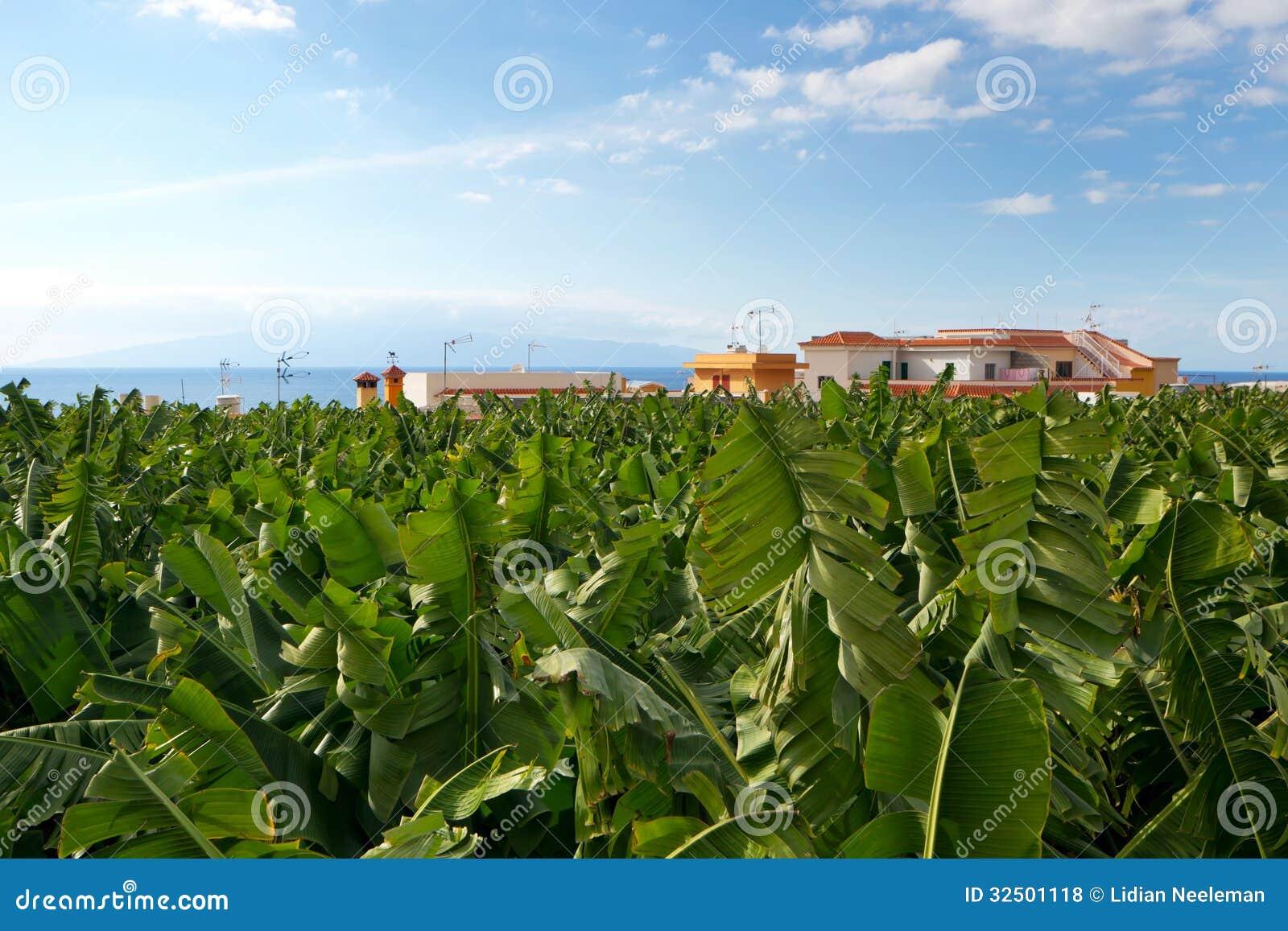 Banana plantation business plan