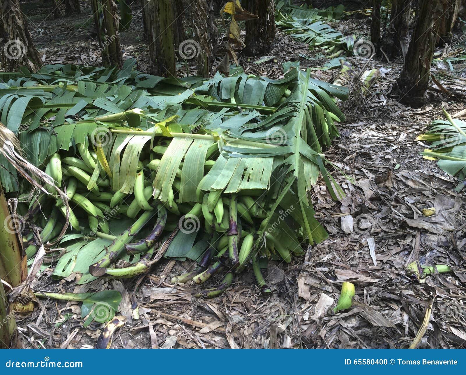 Banana pronta para ser enviado, agricultura, negócio
