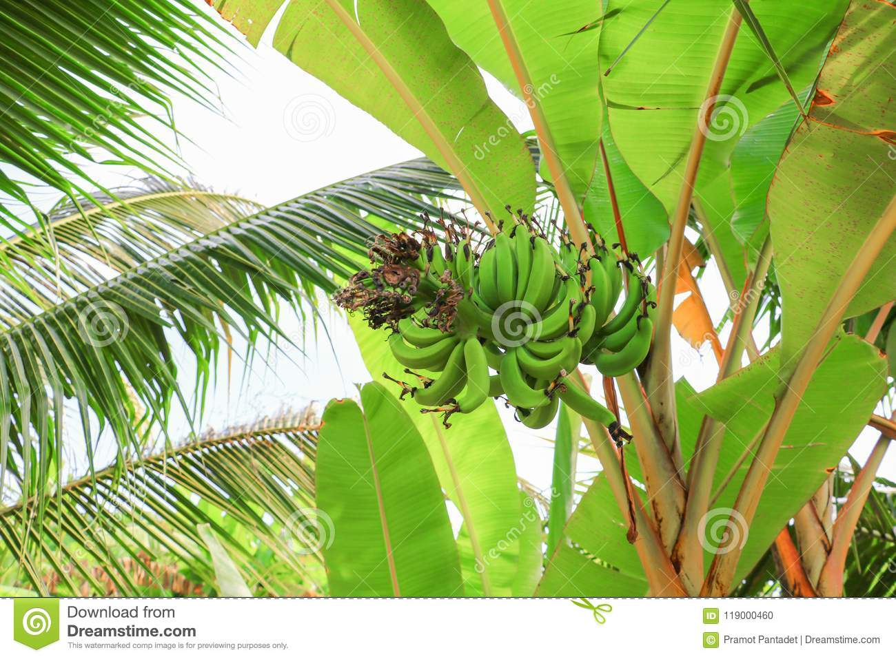 Banana raw with a bunch on the tree with copy space add text
