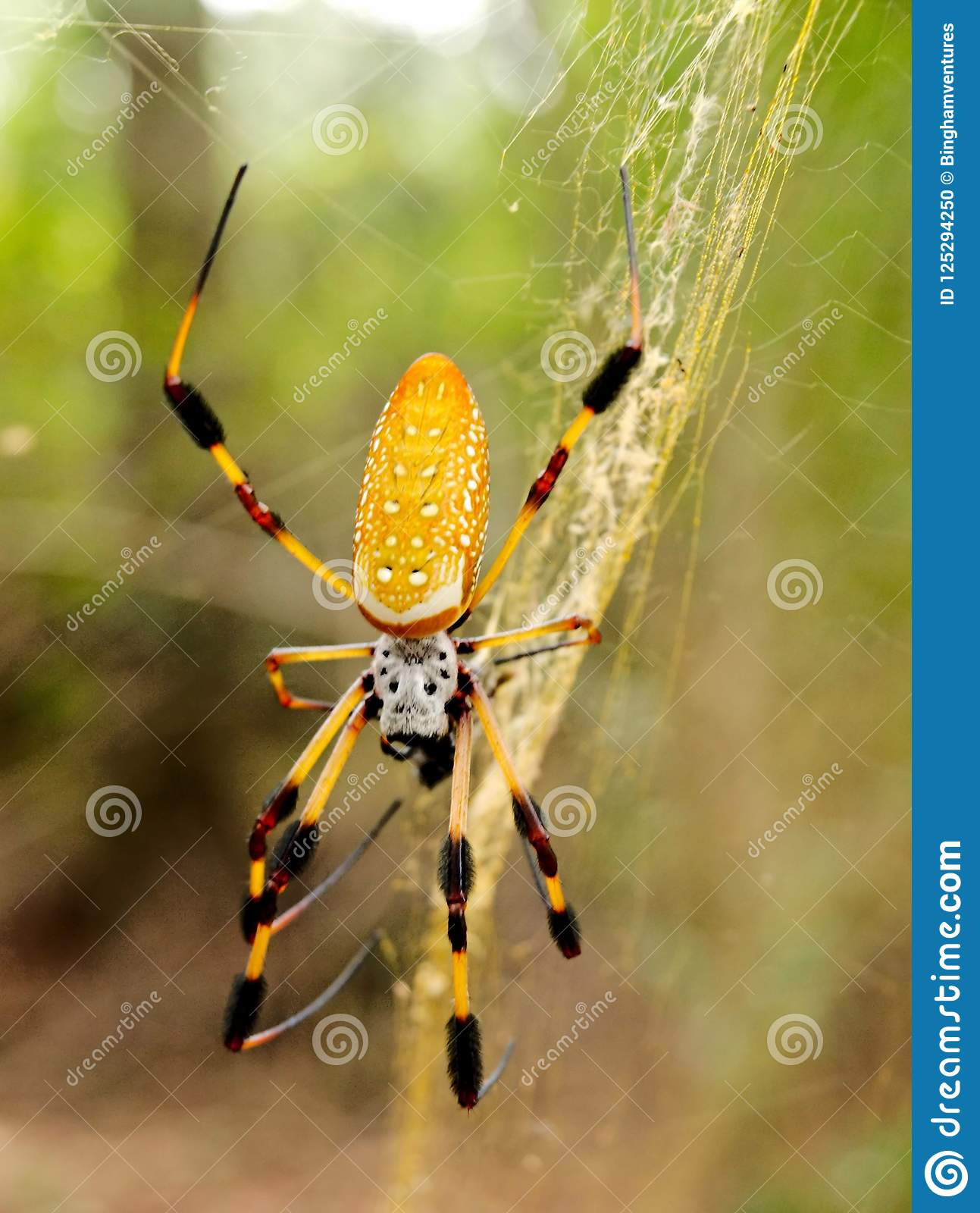 Banana Spider Web Pictures