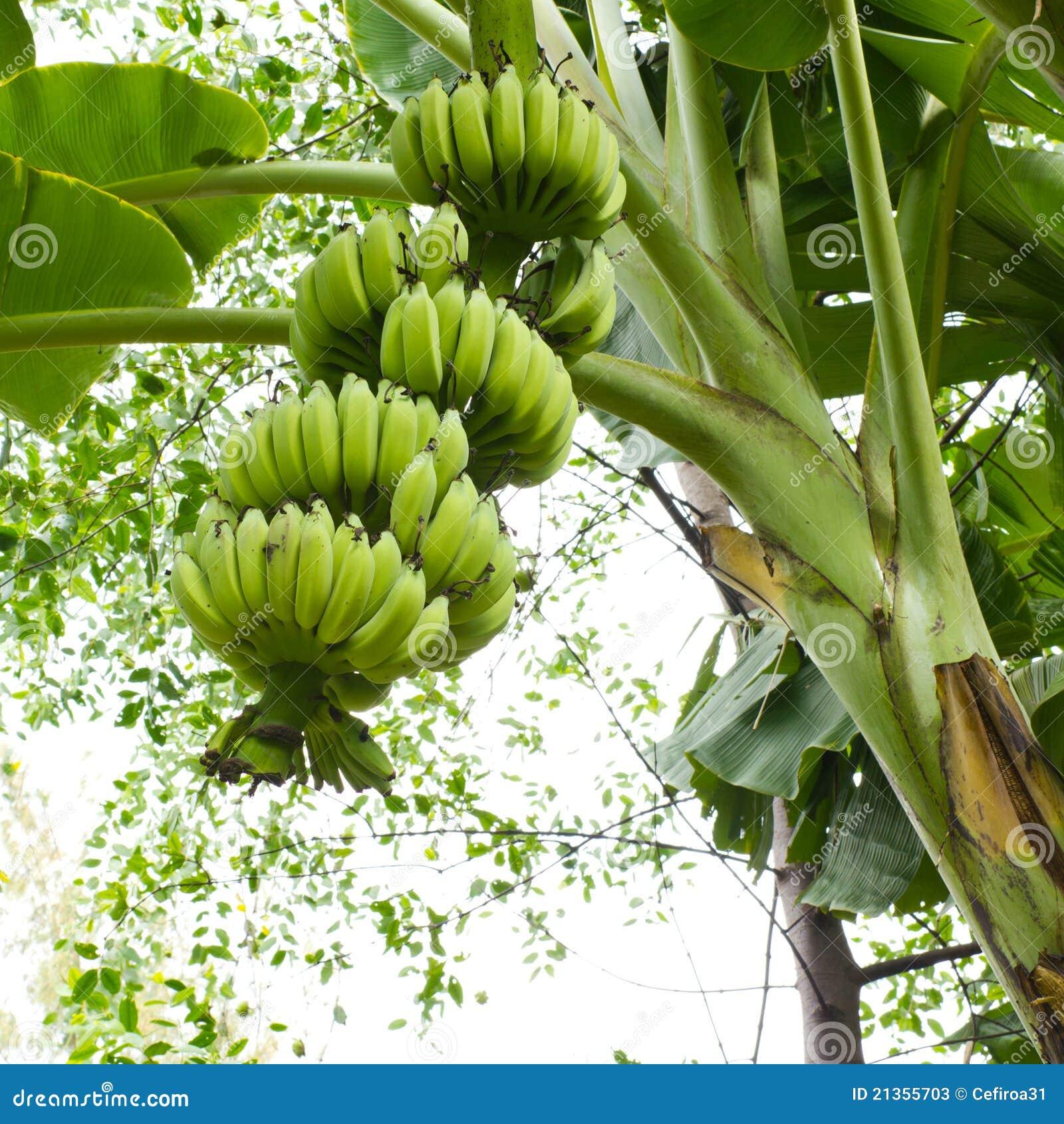 banana tree stock photos image 21355703