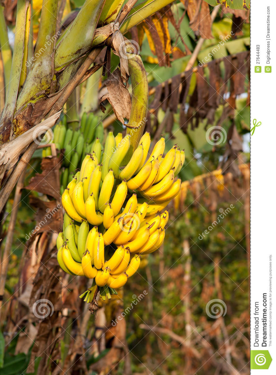 Yellow Banana Tree Banana tree  tropical fruit inYellow Banana Tree