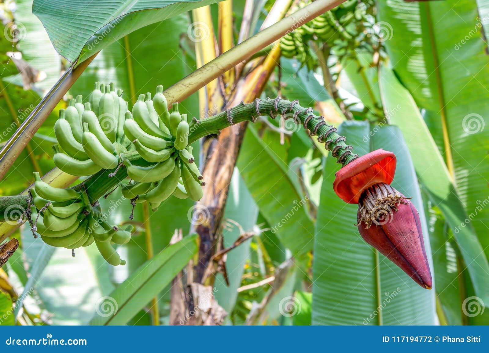 Banana Tree With Banana Blossom Stock Photo Image Of Musaceae