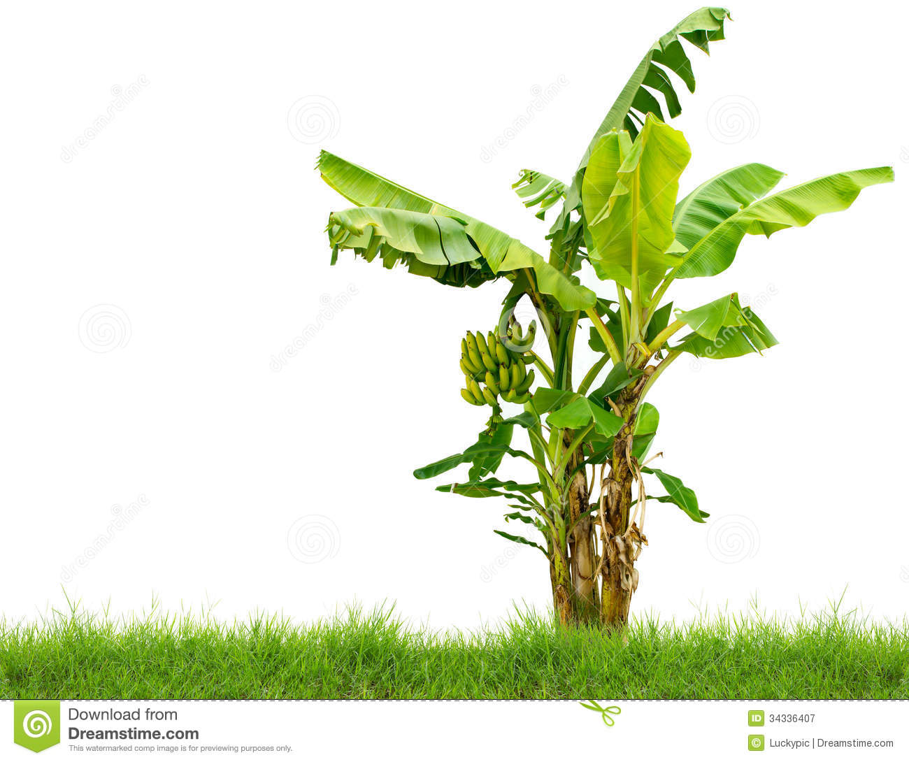 Banana Tree With Fresh Green Grass Isolated On White Background