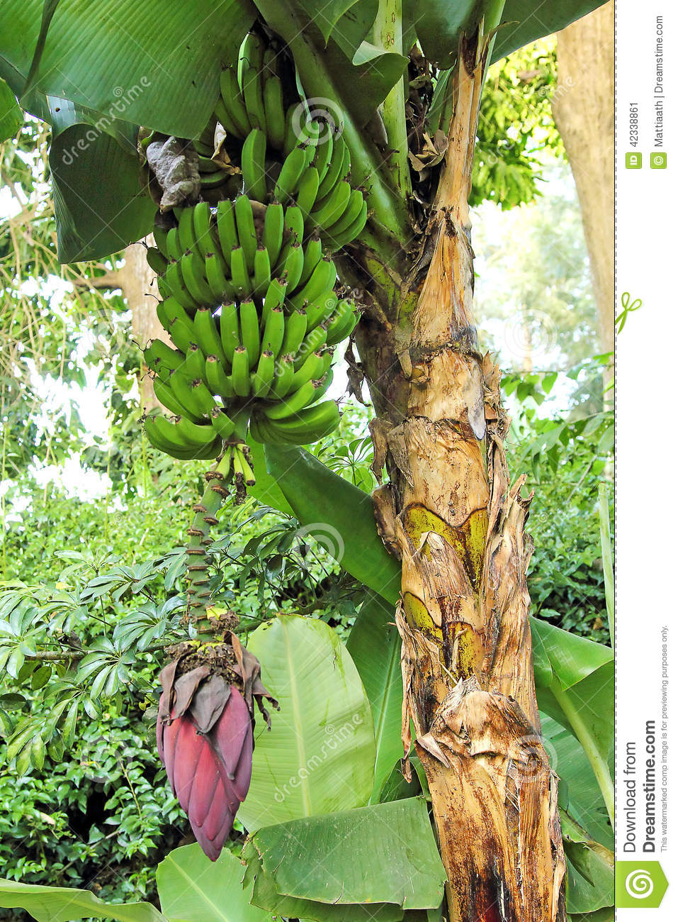 banana tree with fruits stock photo image 42338861