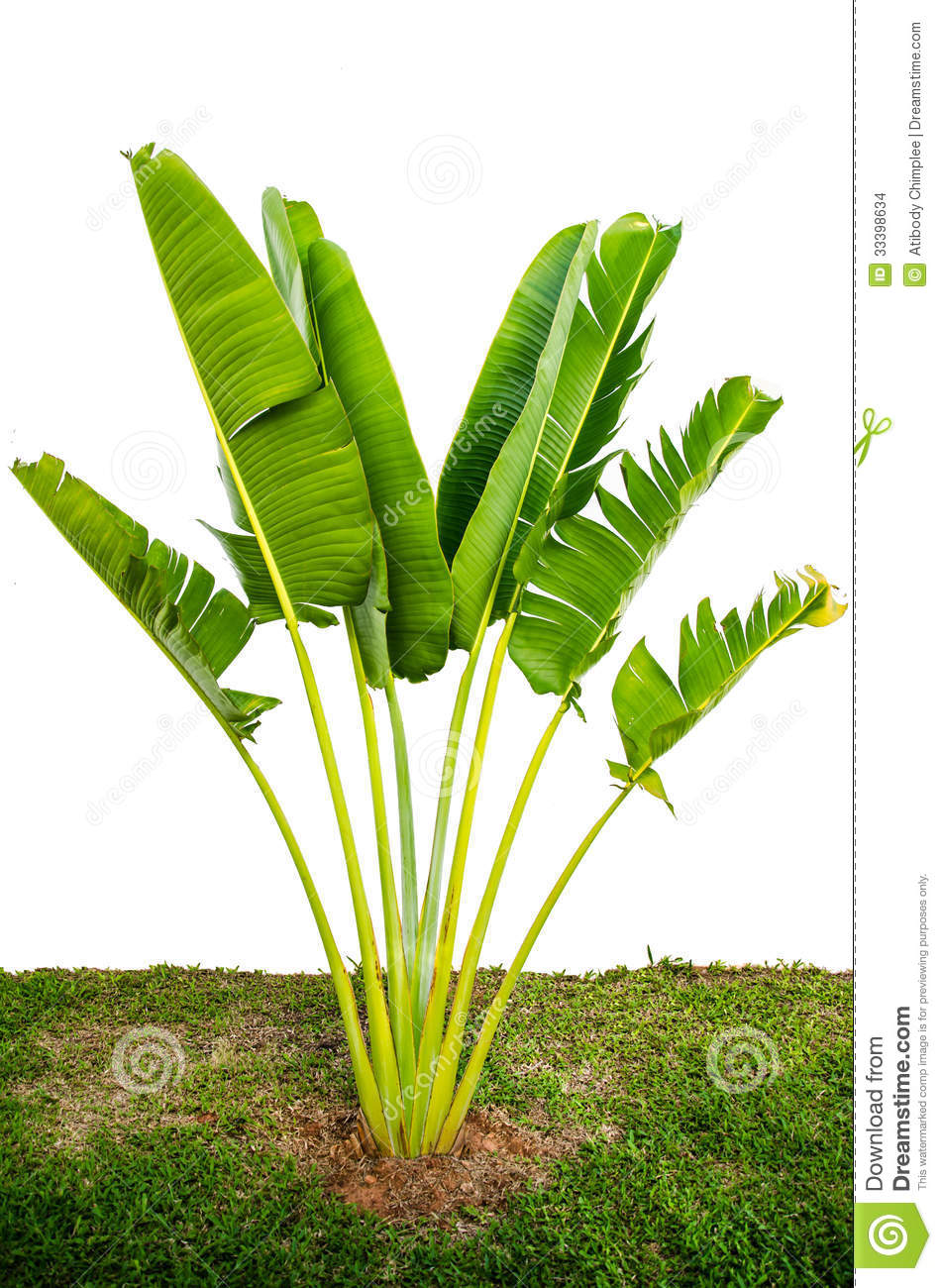 banana tree stock photo image of agriculture nature