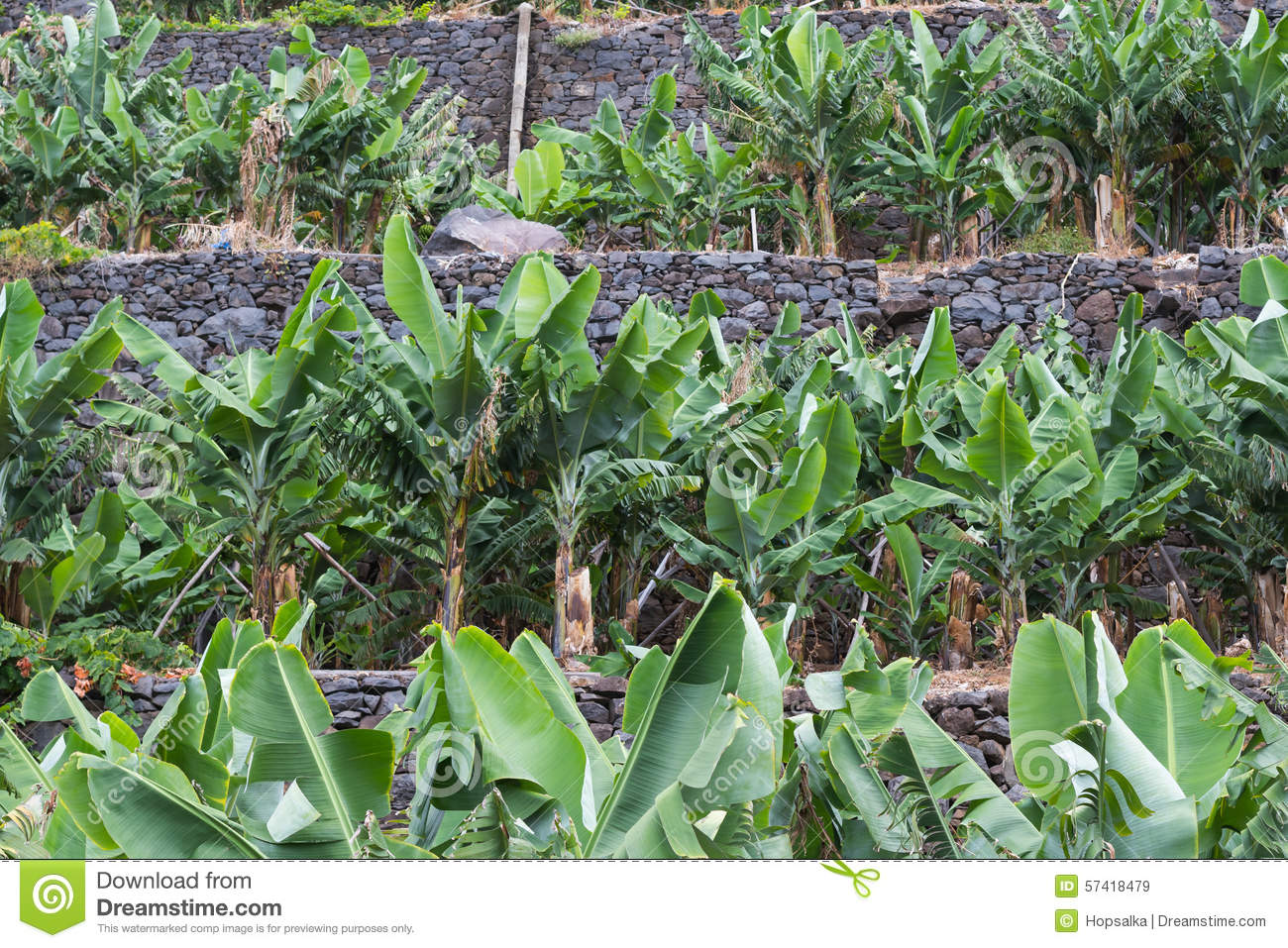 Best Plant Food For Banana Trees