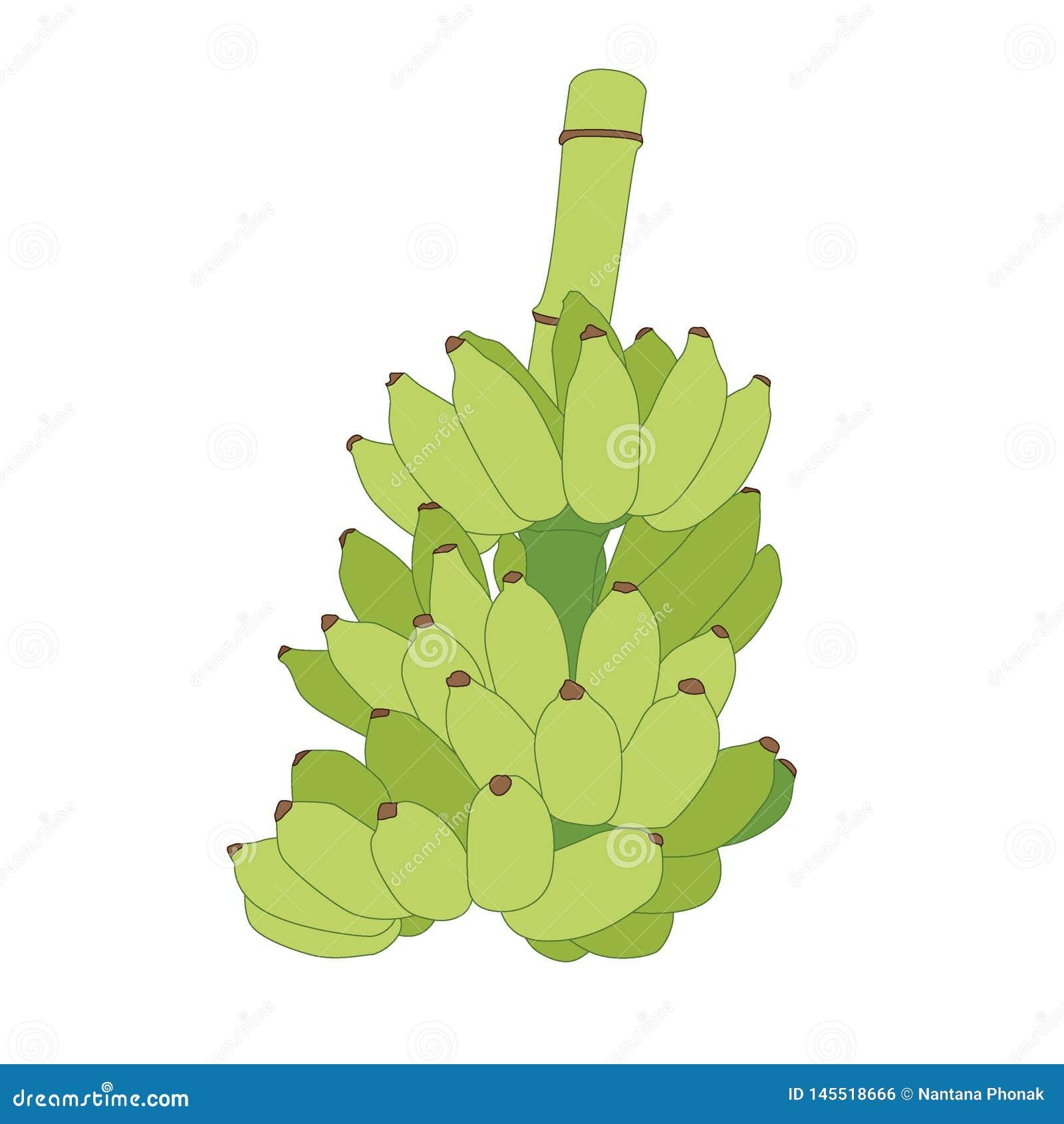 Banana verde da cor no vetor branco da ilustração do fundo
