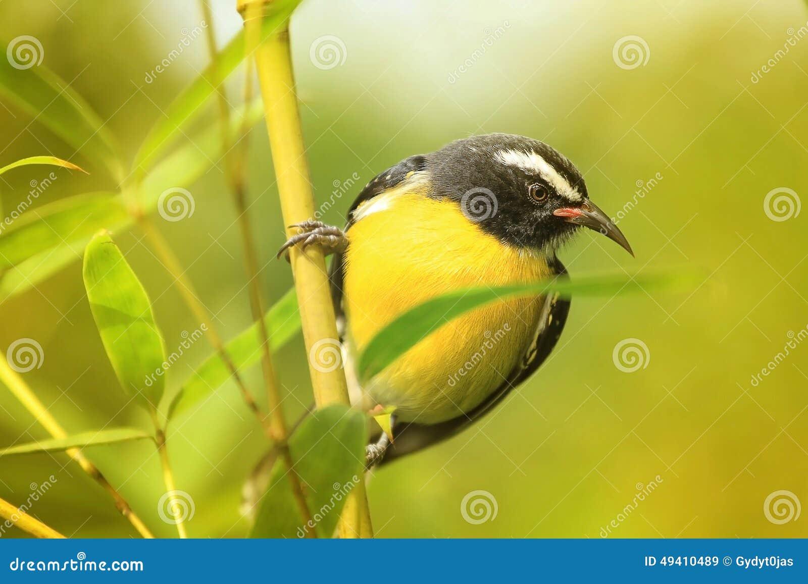 Download Bananaquit stockbild. Bild von antillen, aufsatz, vogel - 49410489