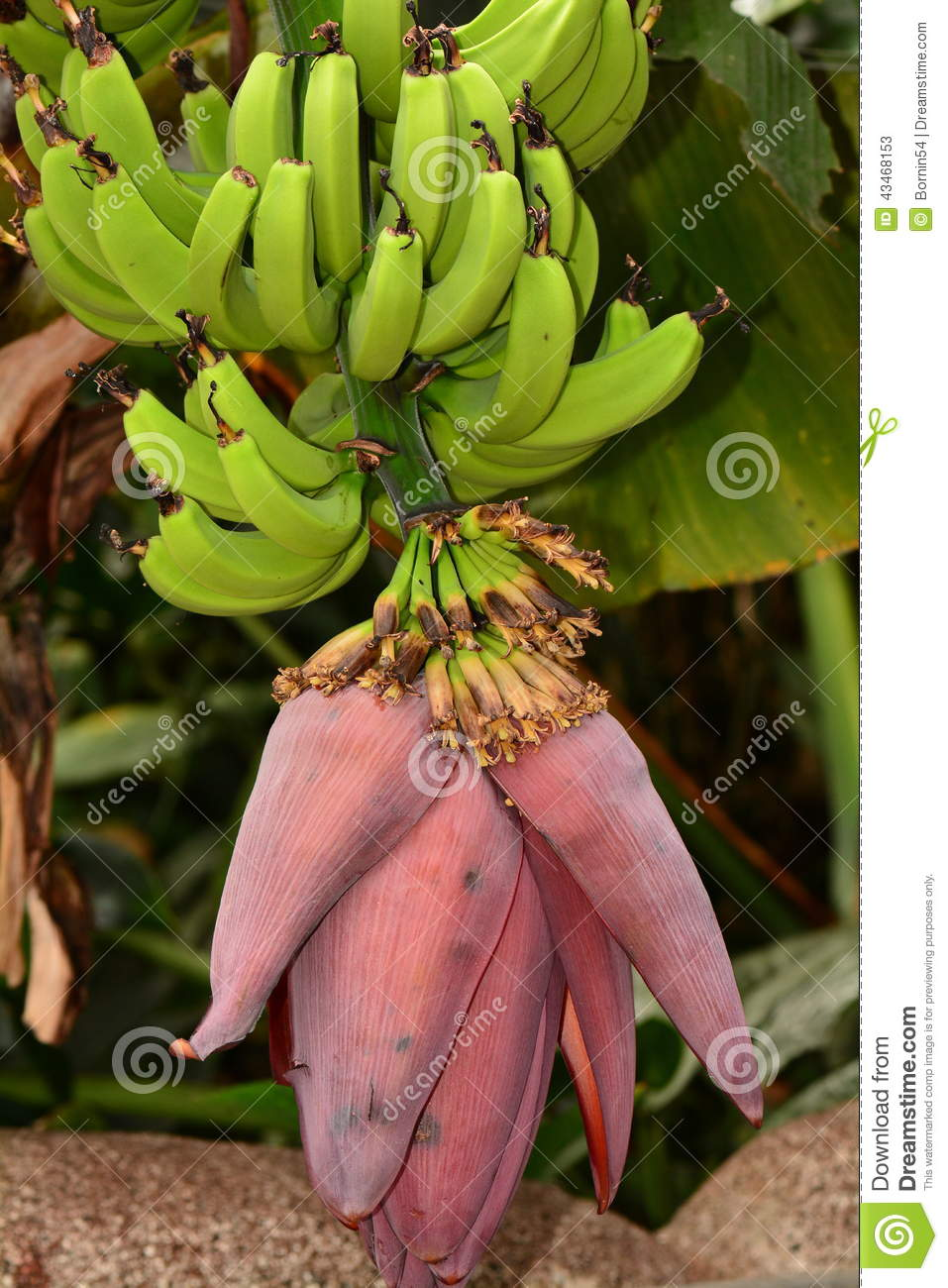 Bananas Hanging From Vine Stock Image Image Of Exported 43468153