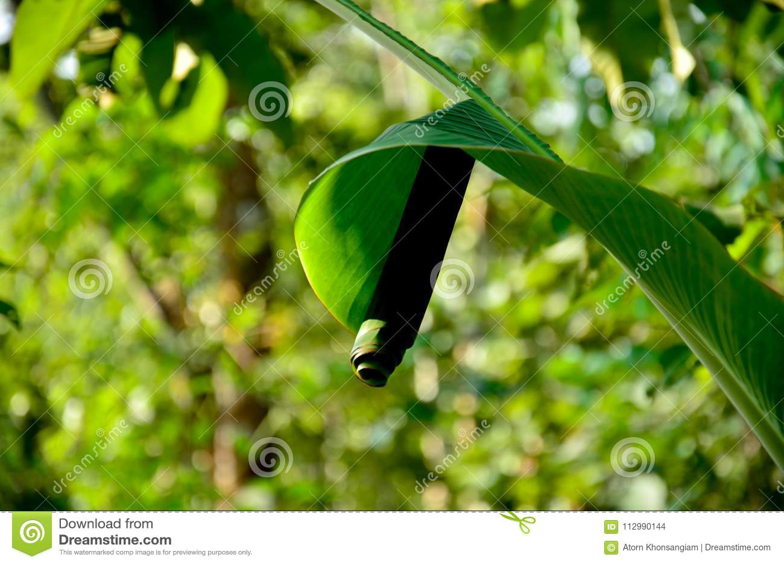 Banana leaf is often used as a habitat for leaf rolls.