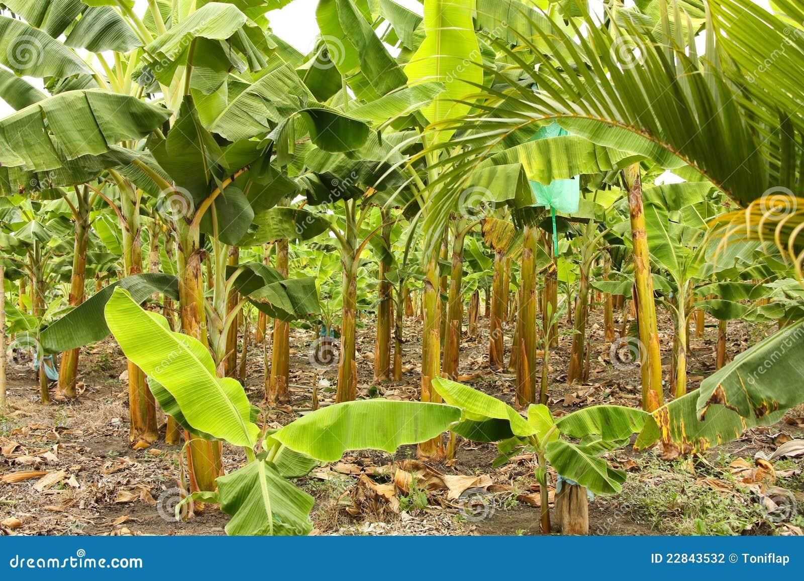 banana tree - photo #45