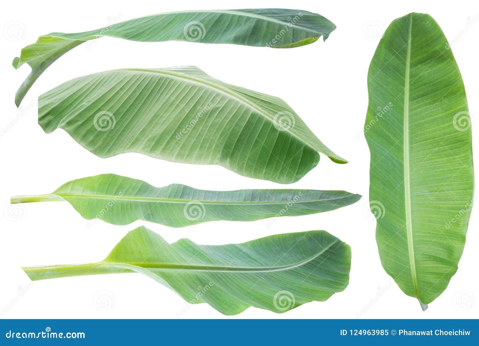 Bananblad Isolerat på vitbakgrund med den snabba banan