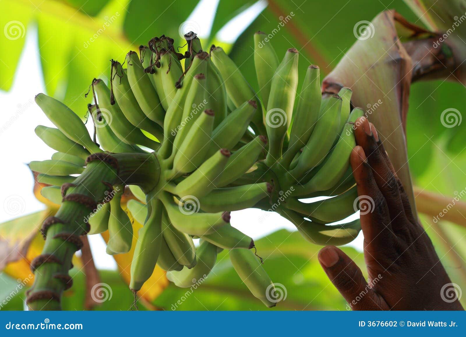 Download Banane Acerbe Sull'albero Di Banana Fotografia Stock - Immagine di uncut, giovane: 3676602